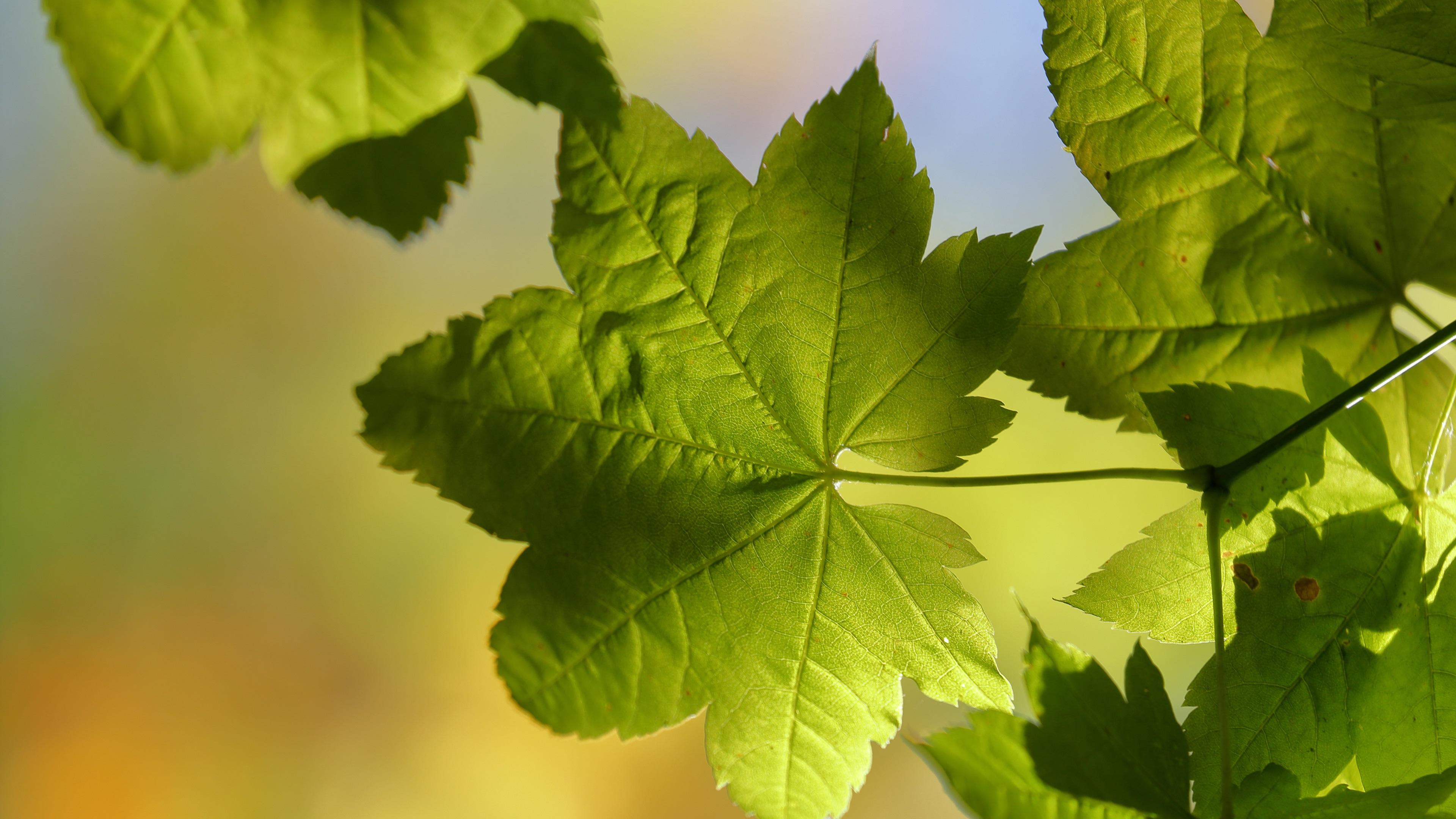 Зеленые листья клена анонимно