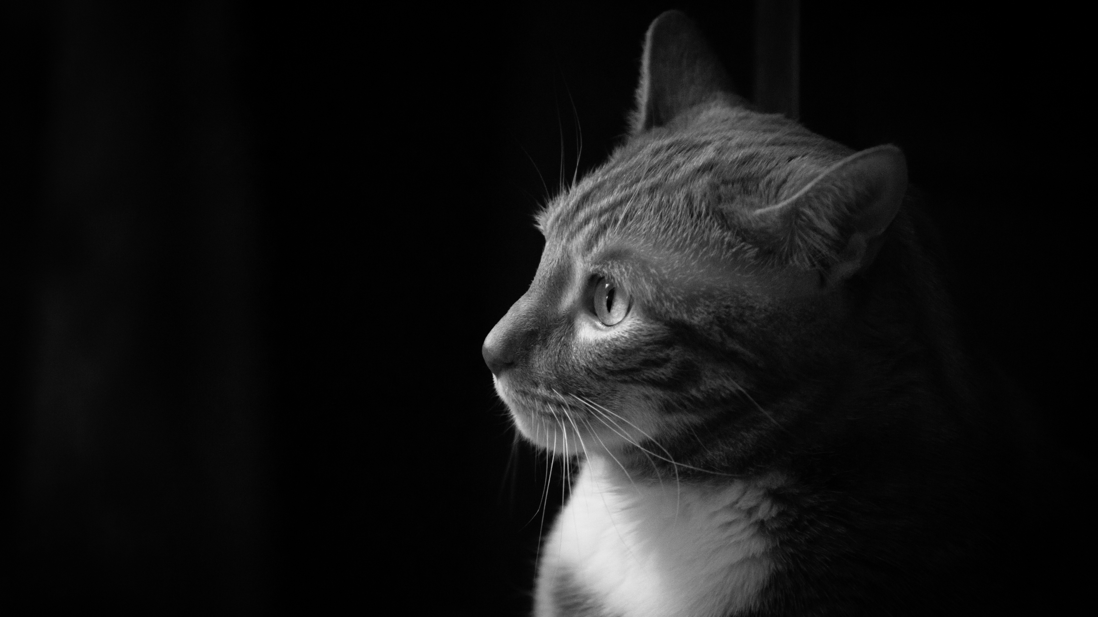 Wallpaper Cat Side View Black White Picture 3840x2160 Uhd 4k