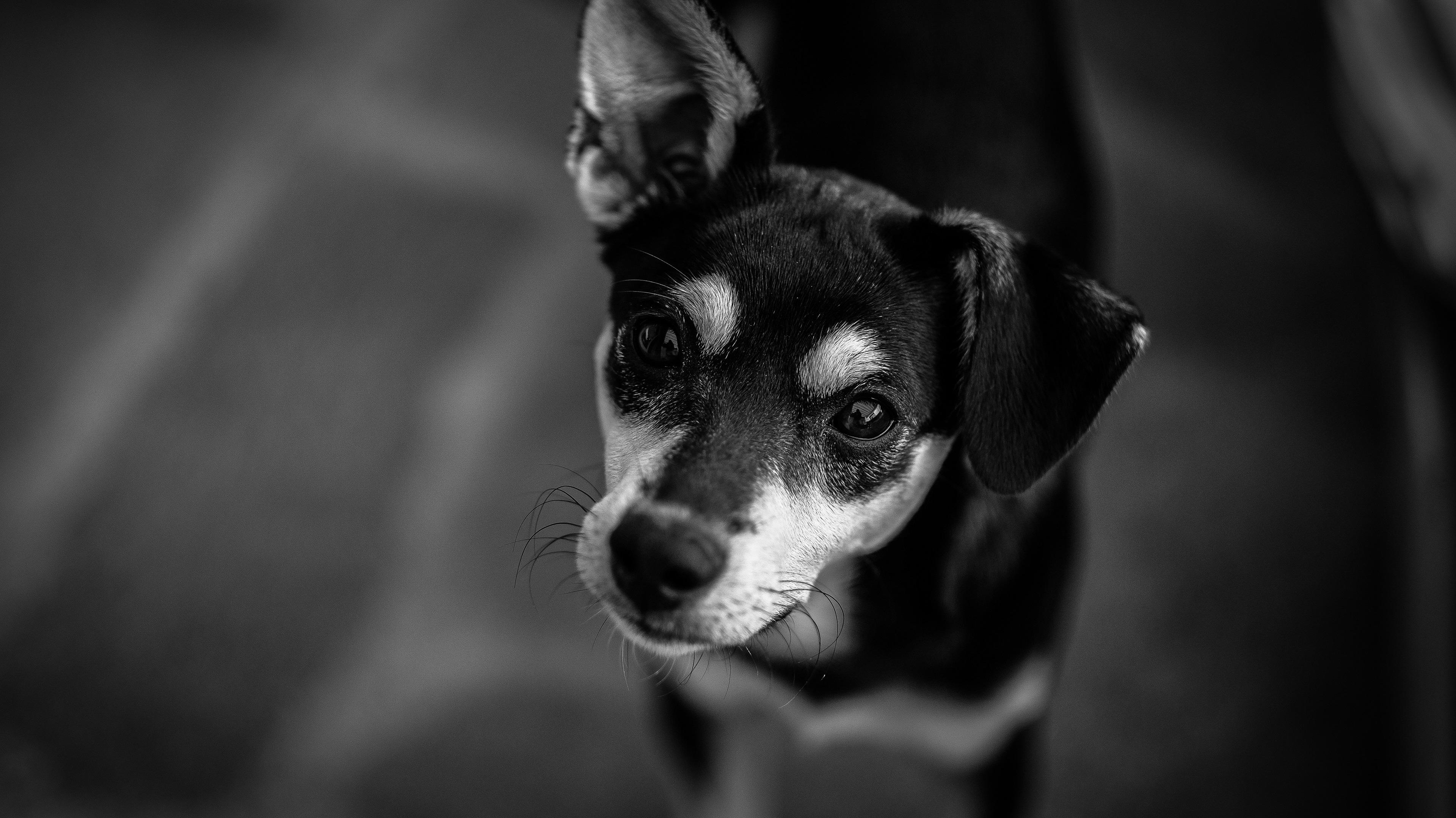 Papéis De Parede Cão Olha Para Você Imagem Em Preto E