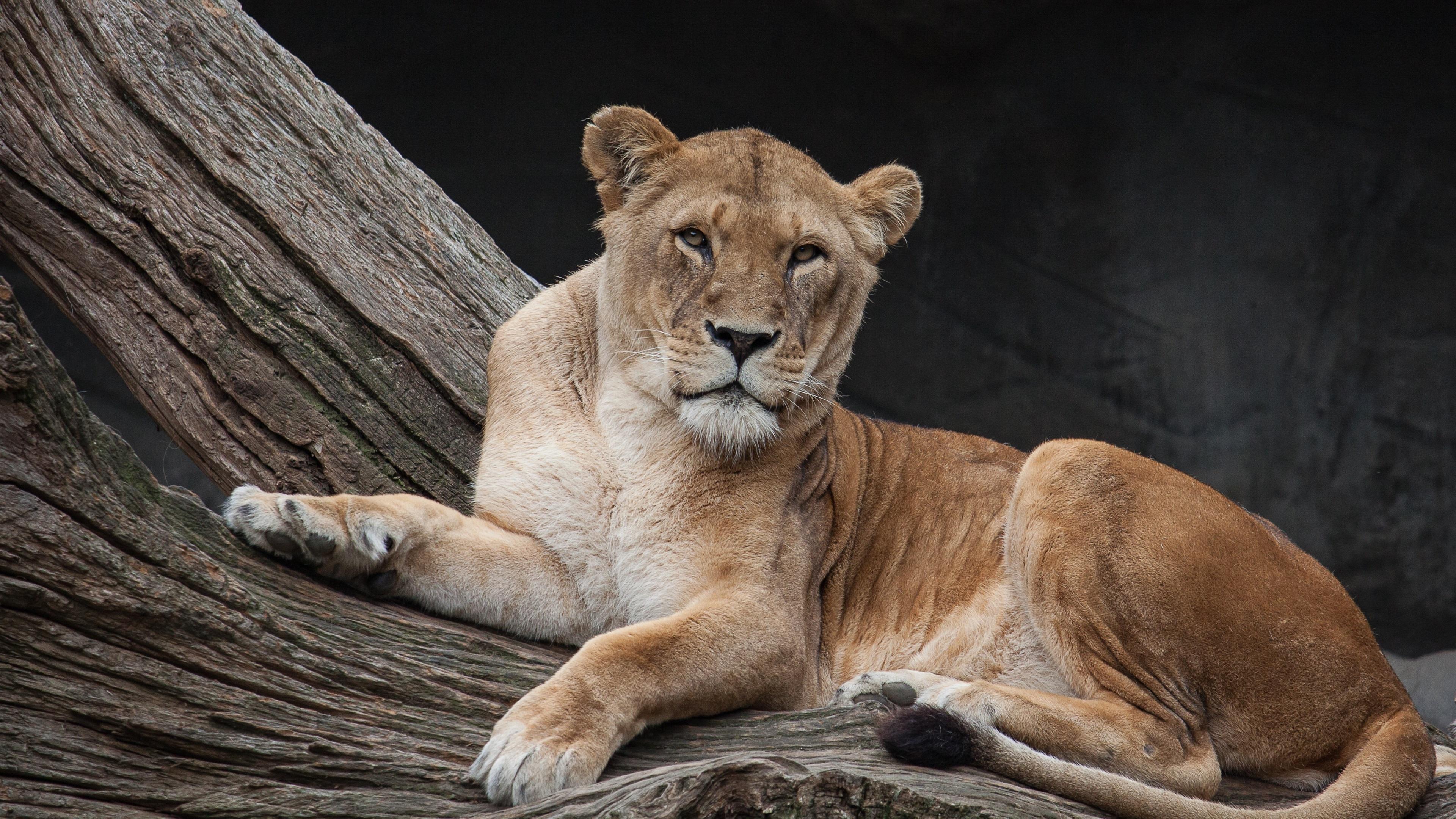 Wallpaper Lioness, rest, predator, look ...