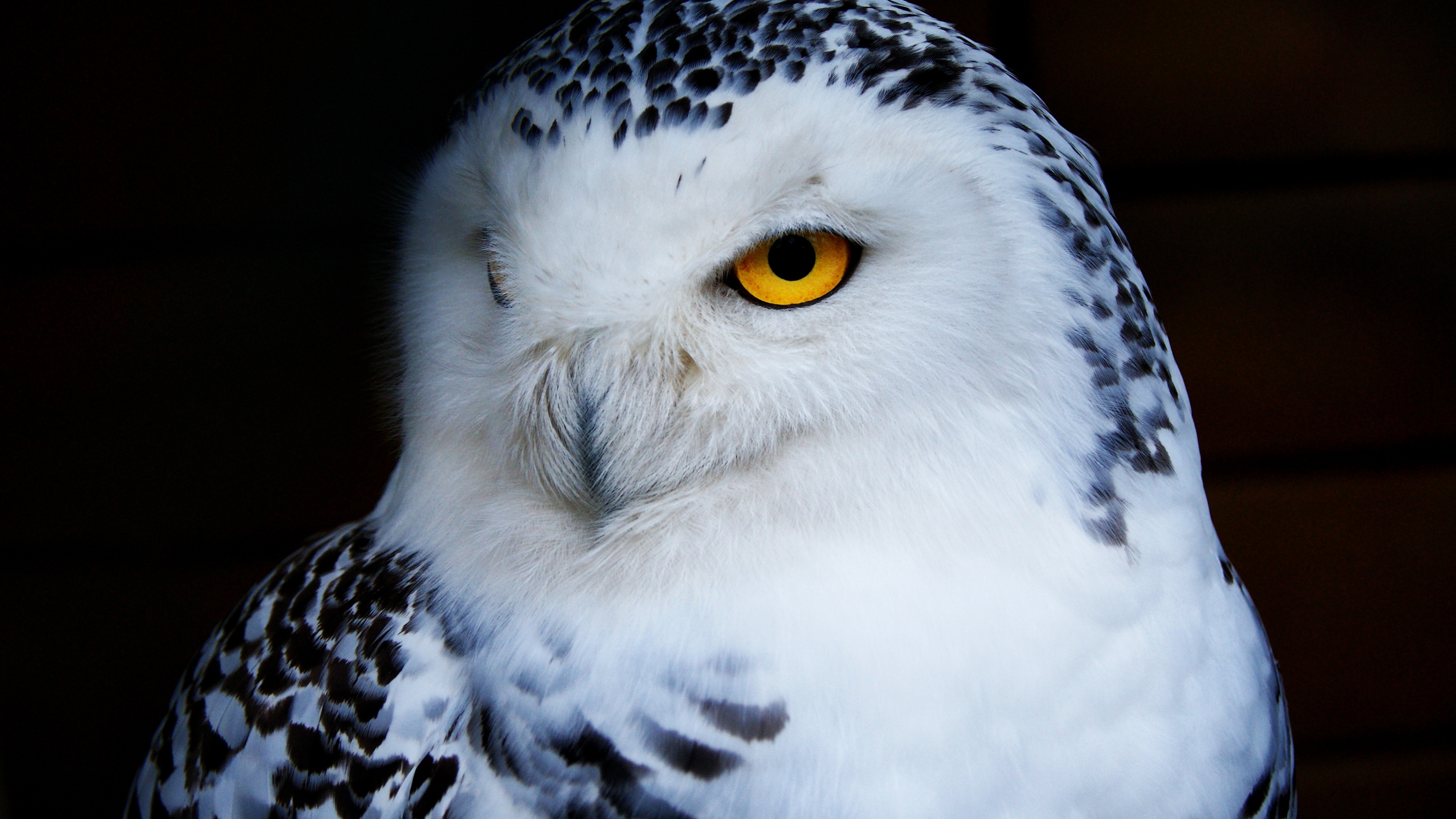 Wallpaper Owl Front View Black Background 3840x2160 Uhd 4k Picture Image