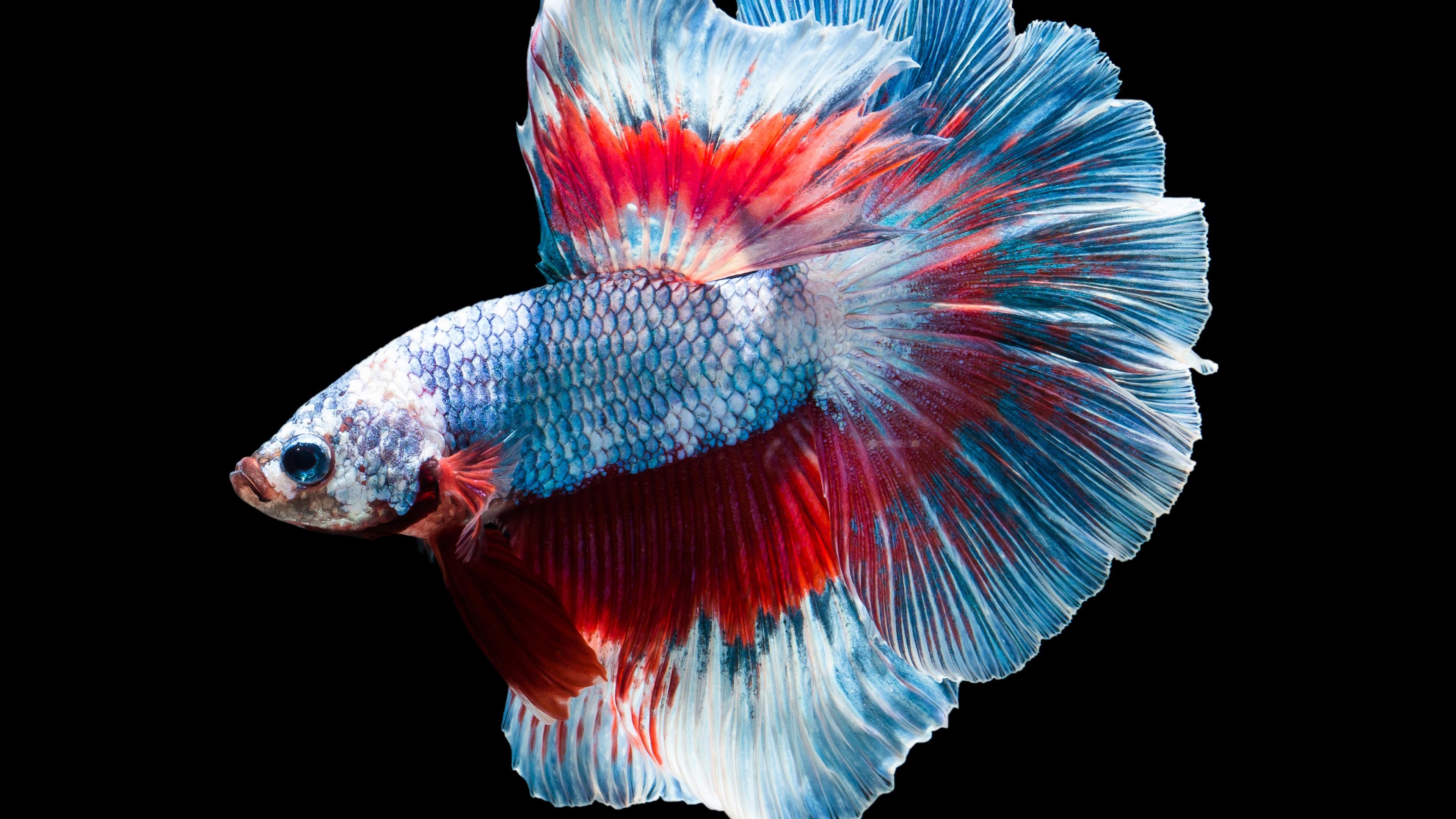 Fisch, Farben, schwarzer Hintergrund 3840x2160 UHD 4K ...