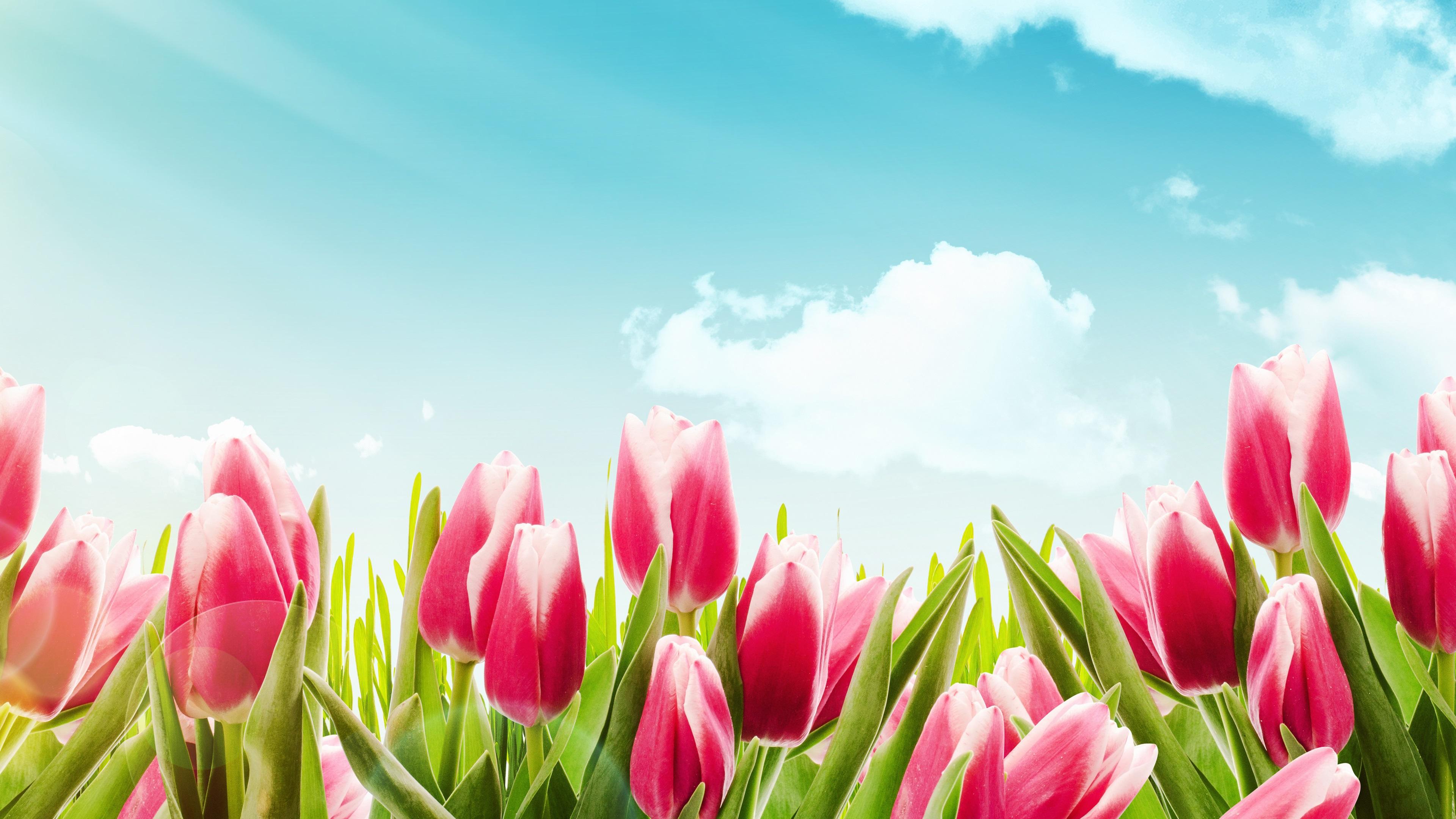Fondos De Pantalla Tulipanes Rosa, Flores, Cielo Azul