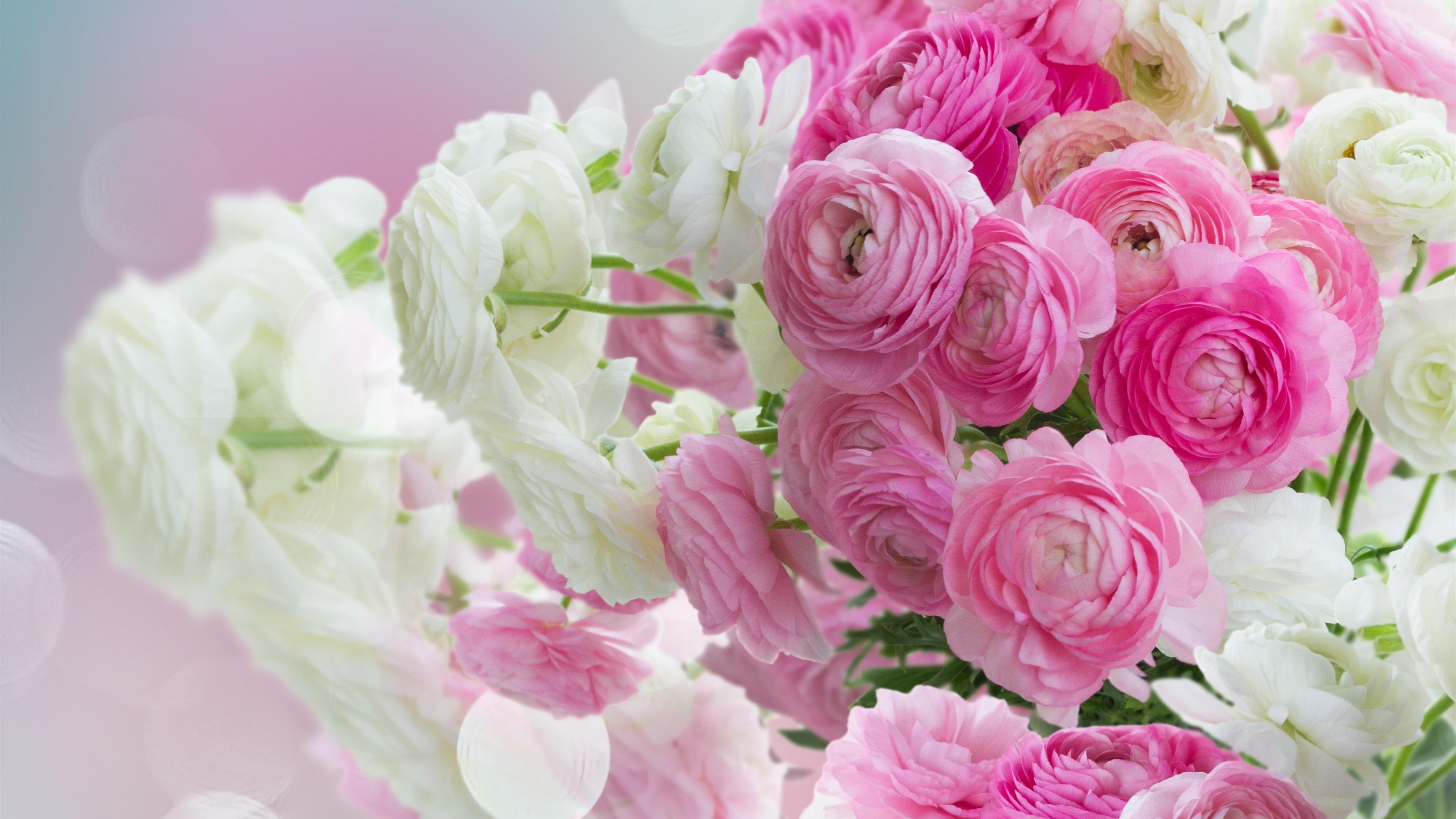 Primer plano de flores peon as rosas y blancas fondos de - Best primer for wallpaper ...
