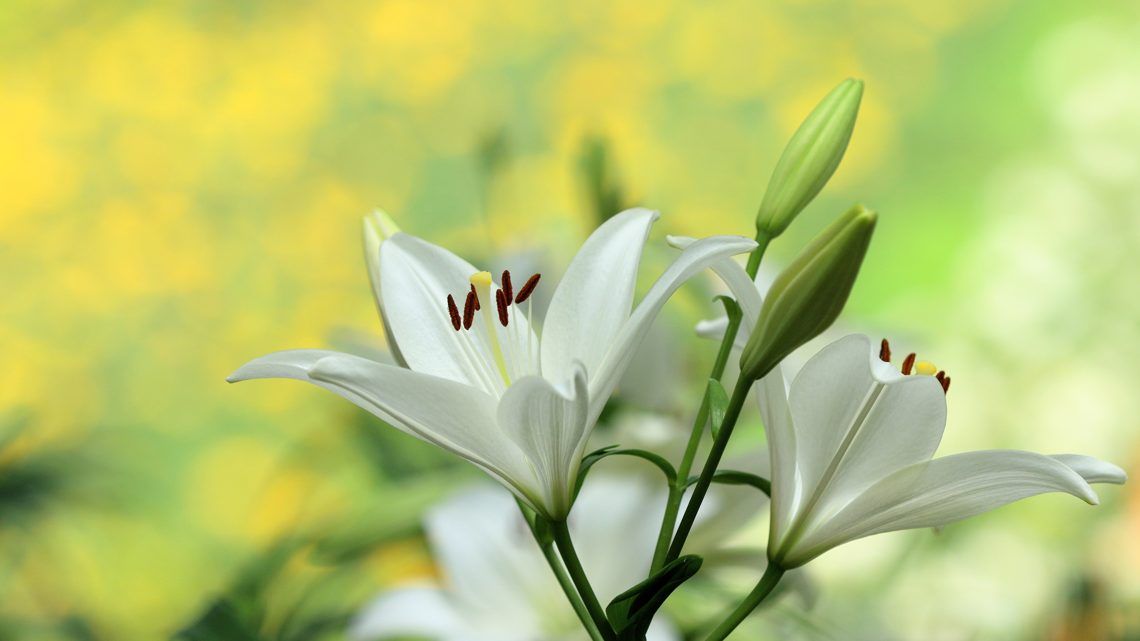 Wallpaper white lily flowers photography 3840x2160 uhd 4k picture download this wallpaper izmirmasajfo