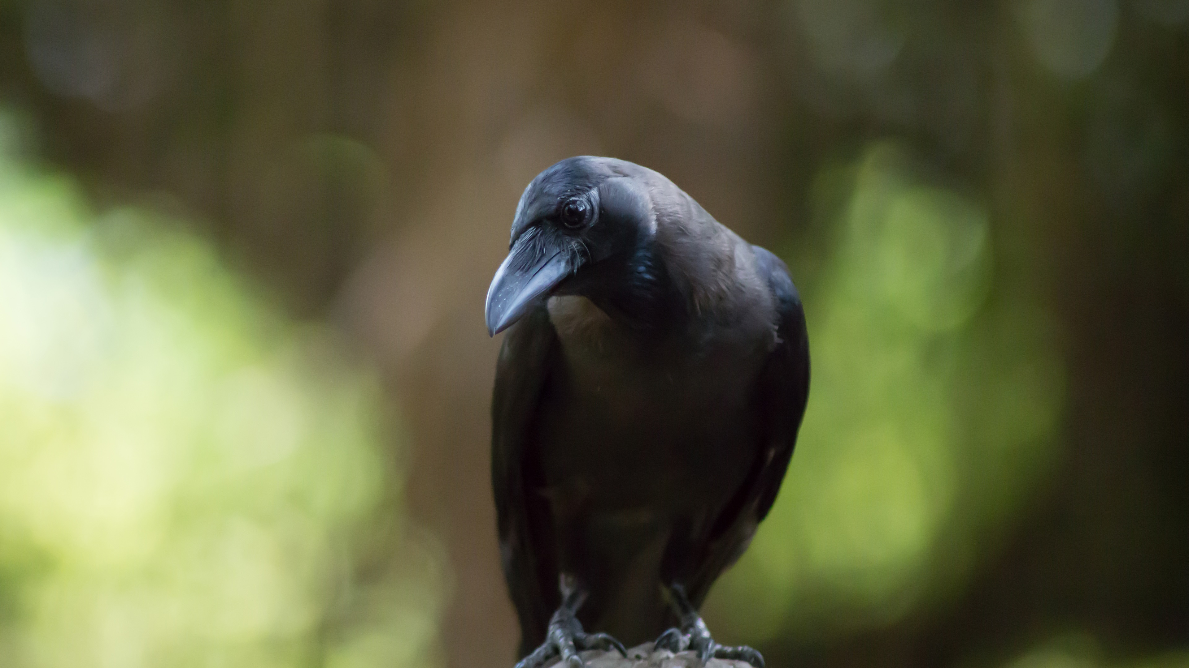 Wallpaper Crow Black Bird Green Background 3840x2160 Uhd 4k Picture Image