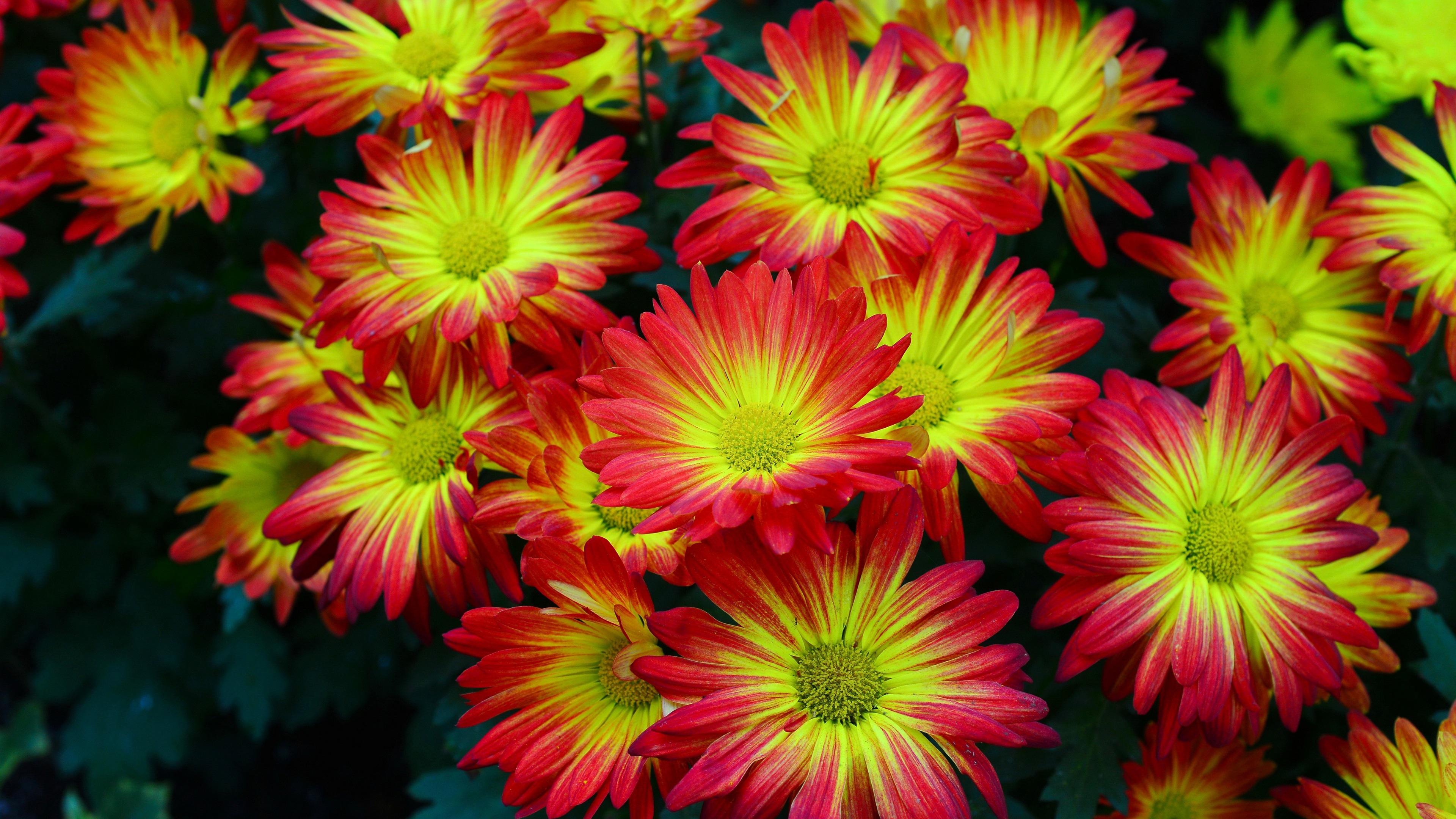 Fondos De Pantalla Hermosas Flores De Color Rojo Amarillo Pétalos Crisantemo 3840x2160 Uhd 4k Imagen