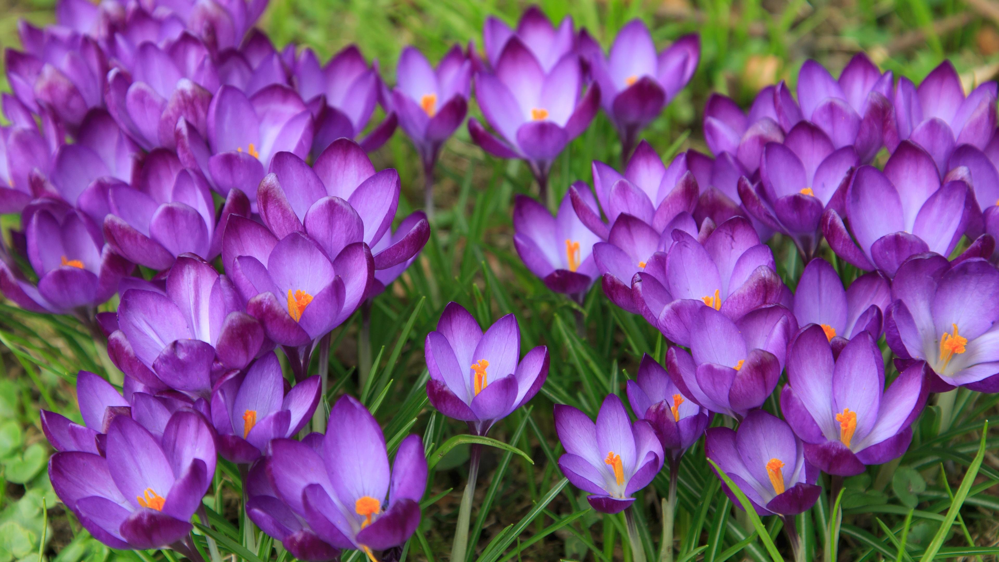 Wallpaper Crocuses Flowering Spring Purple Flowers 3840x2160 Uhd