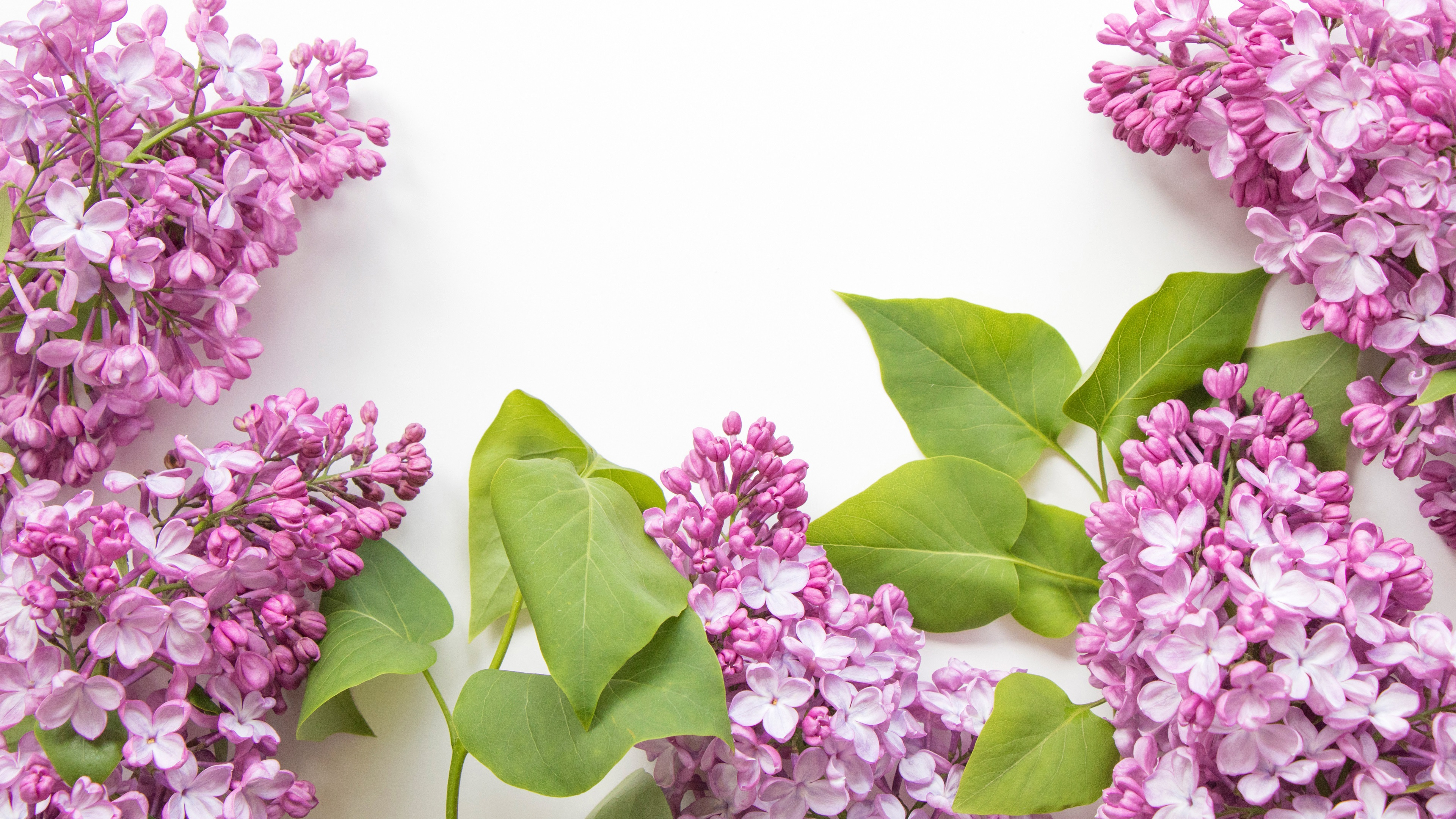 Wallpaper Pink Lilac Flowers White Background 3840x2160 Uhd 4k