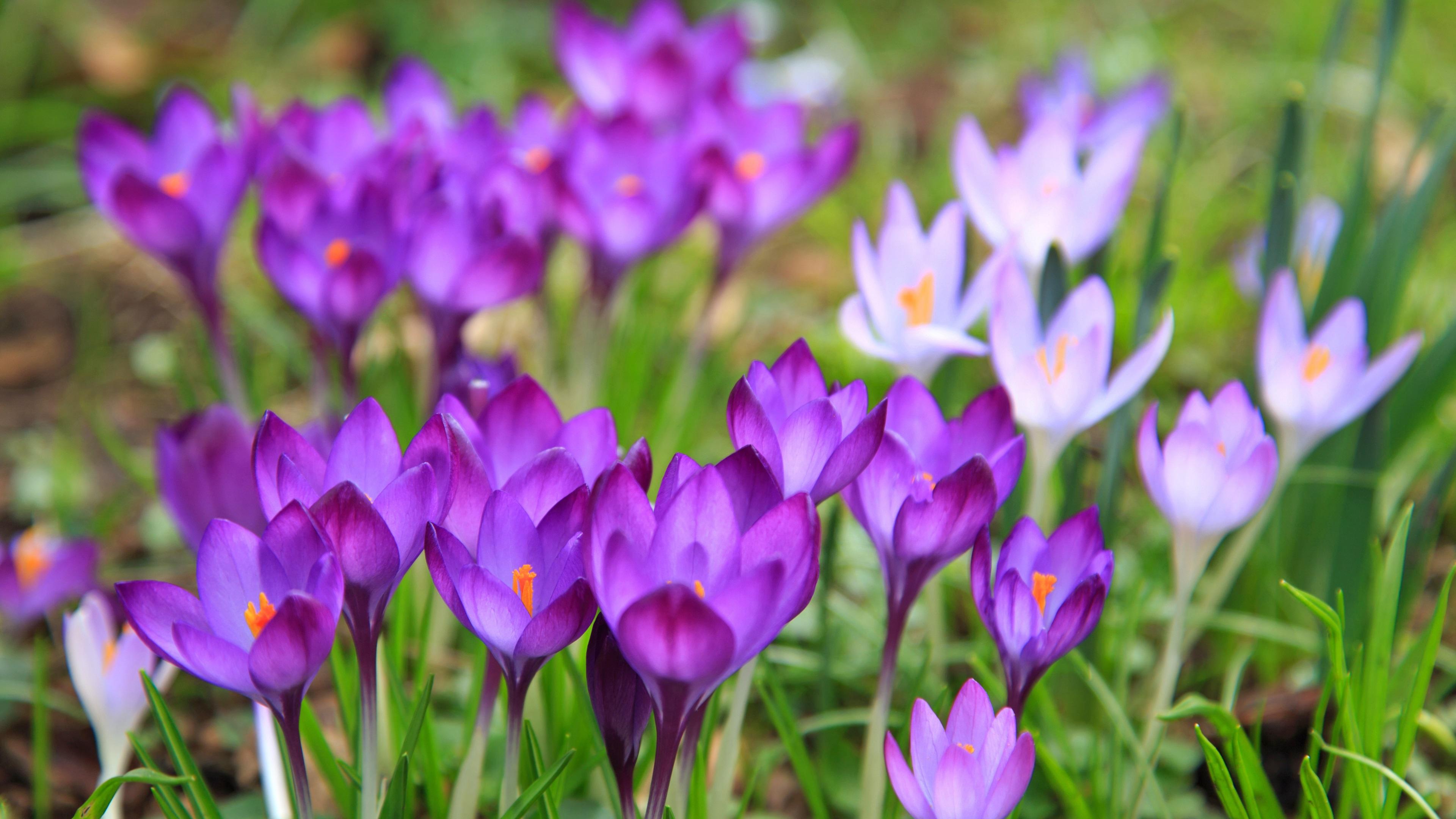 Wallpaper Spring Crocuses Flowering 3840x2160 Uhd 4k