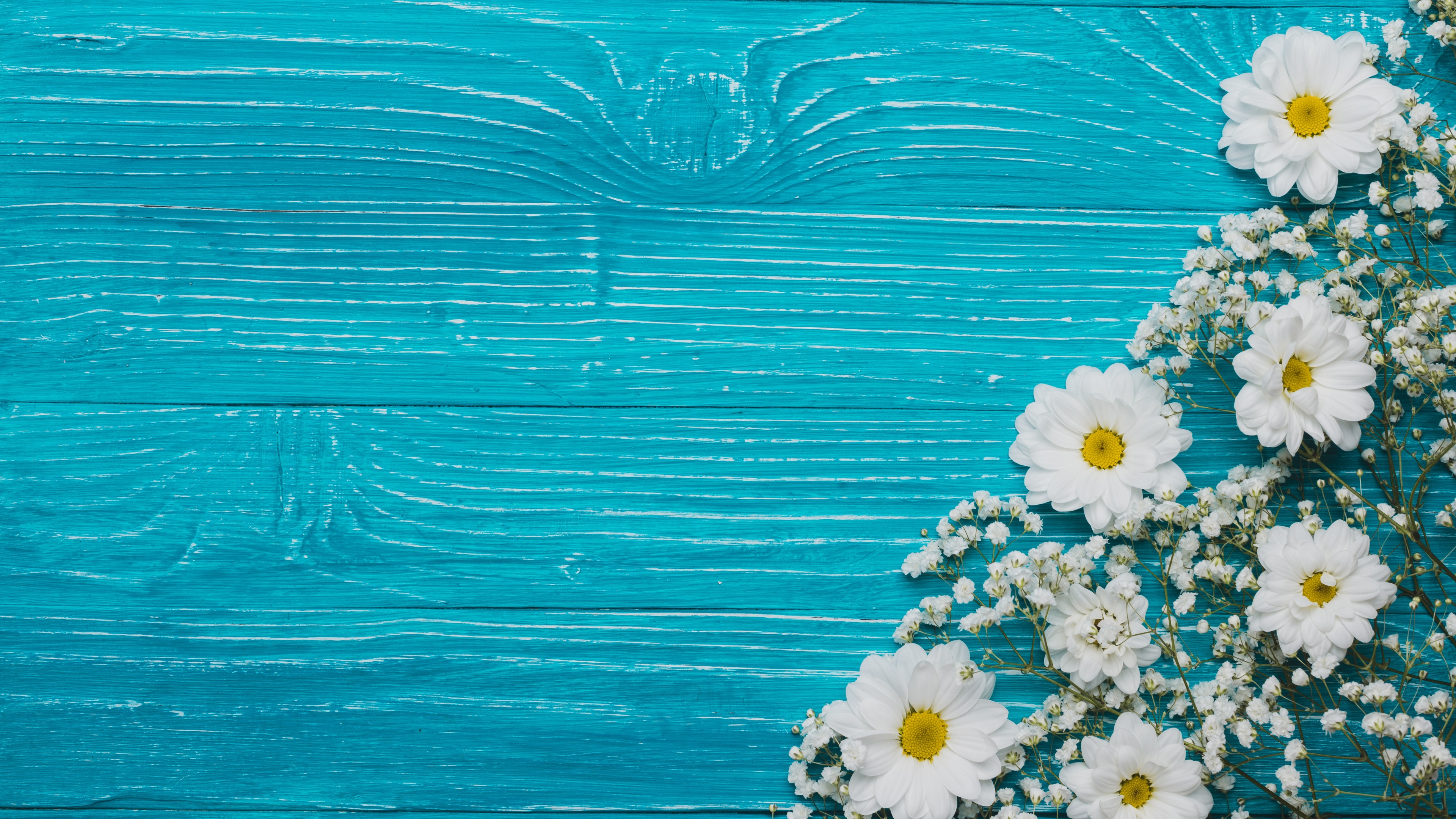 Wallpaper Chrysanthemum And White Flowers Blue Background