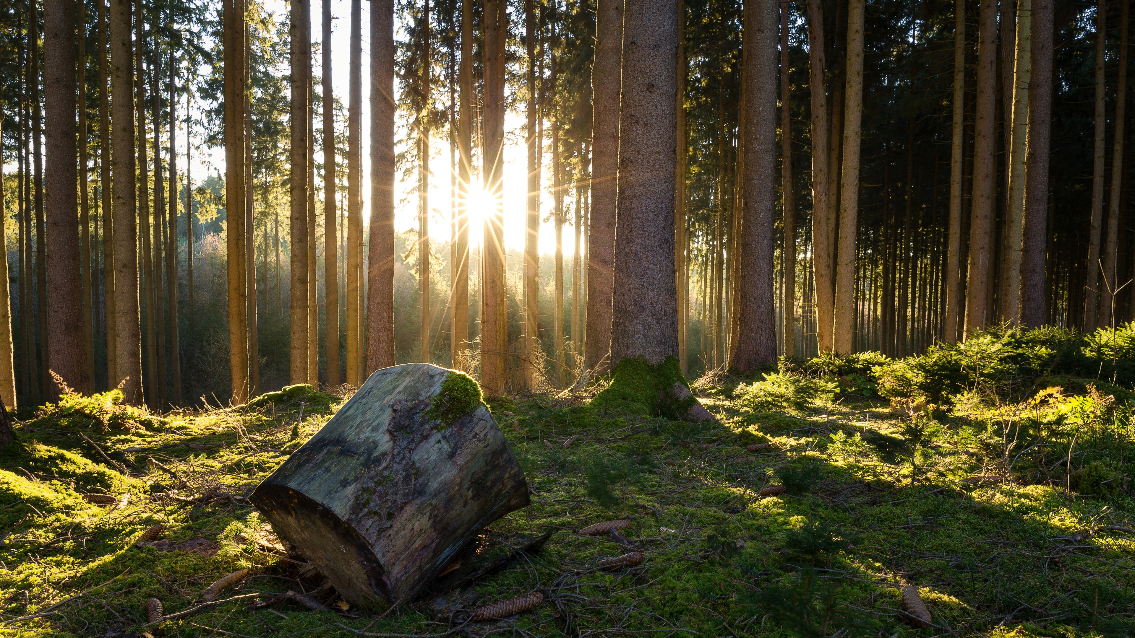 Wallpaper Forest, trees, moss, sunshine, morning 3840x2160 ...