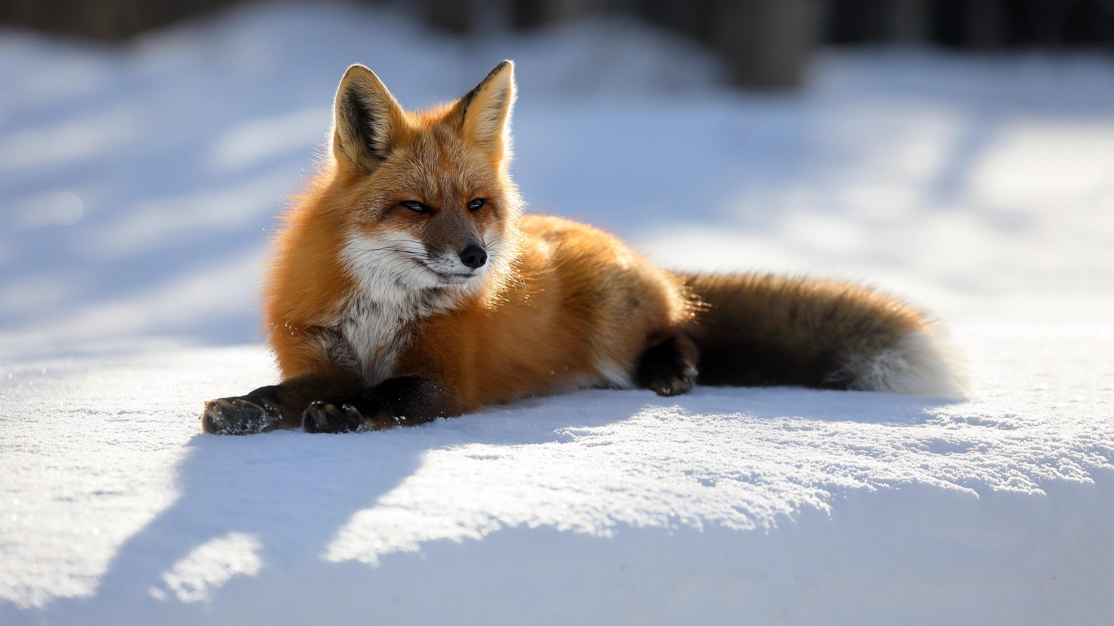 Fondos De Pantalla Lindo Zorro Nieve Invierno 3840x2160