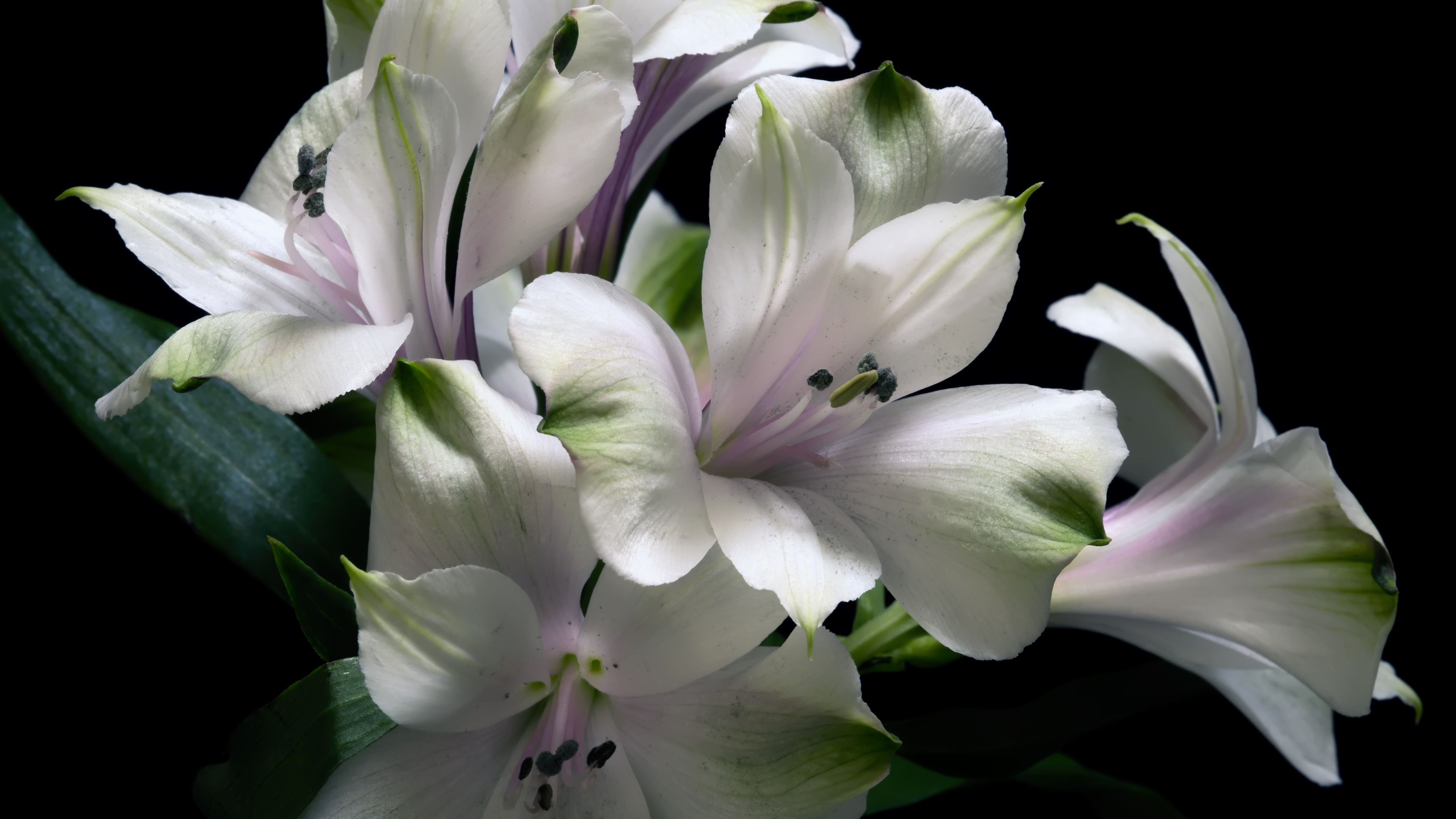 Wallpaper white lily flowers black background 3840x2160 uhd 4k download this wallpaper izmirmasajfo