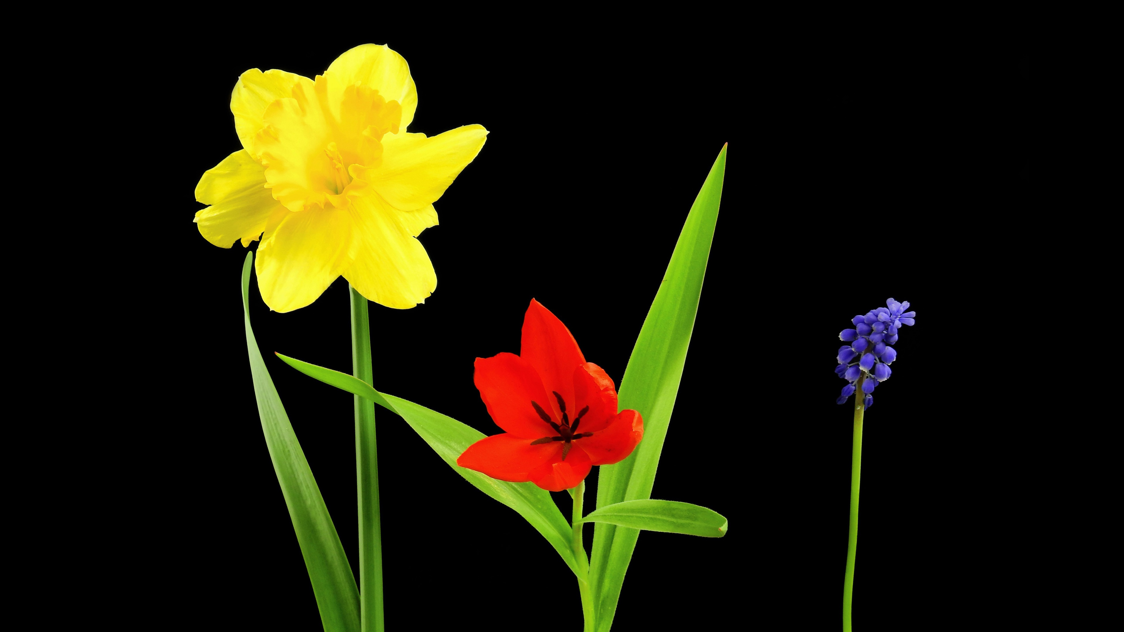Wallpaper Yellow Narcissus Red Tulip Blue Viper Onion Flowers Black Background 3840x2160 Uhd 4k Picture Image