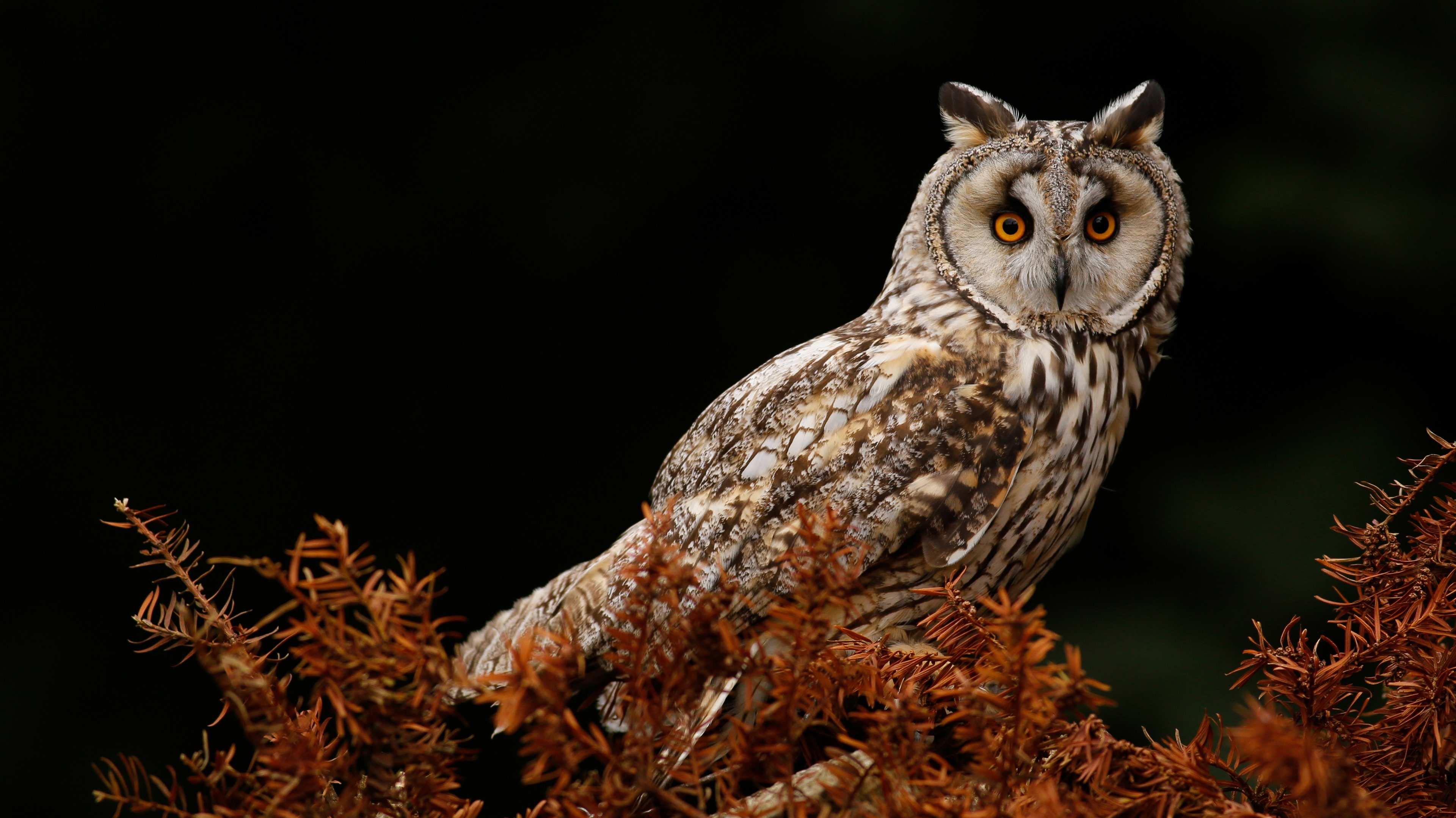 Wallpaper Owl Tree Black Background 3840x2160 Uhd 4k Picture Image