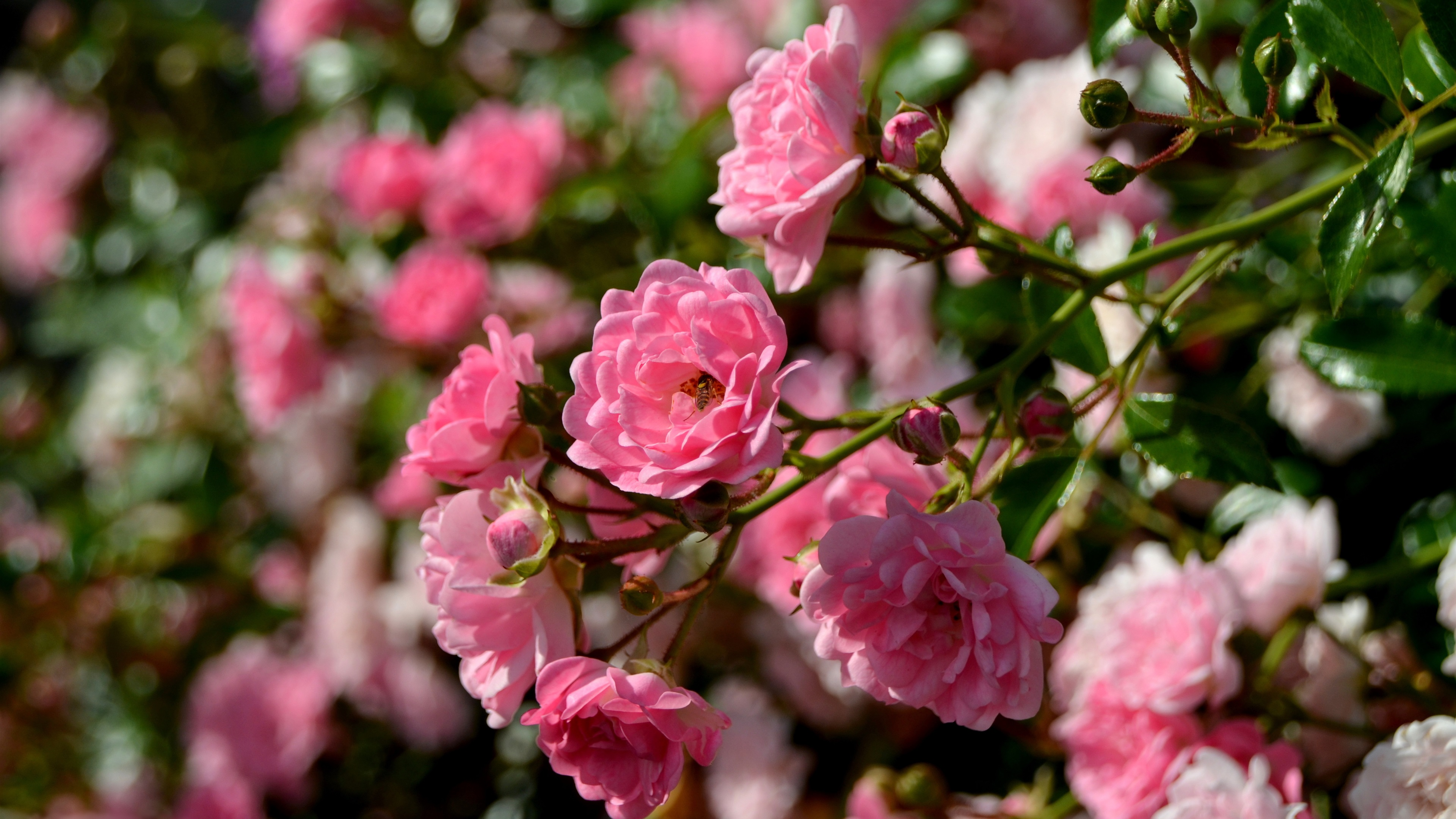 Fonds d 39 cran roses roses abeille fleurs de printemps - Fleurs roses de printemps ...