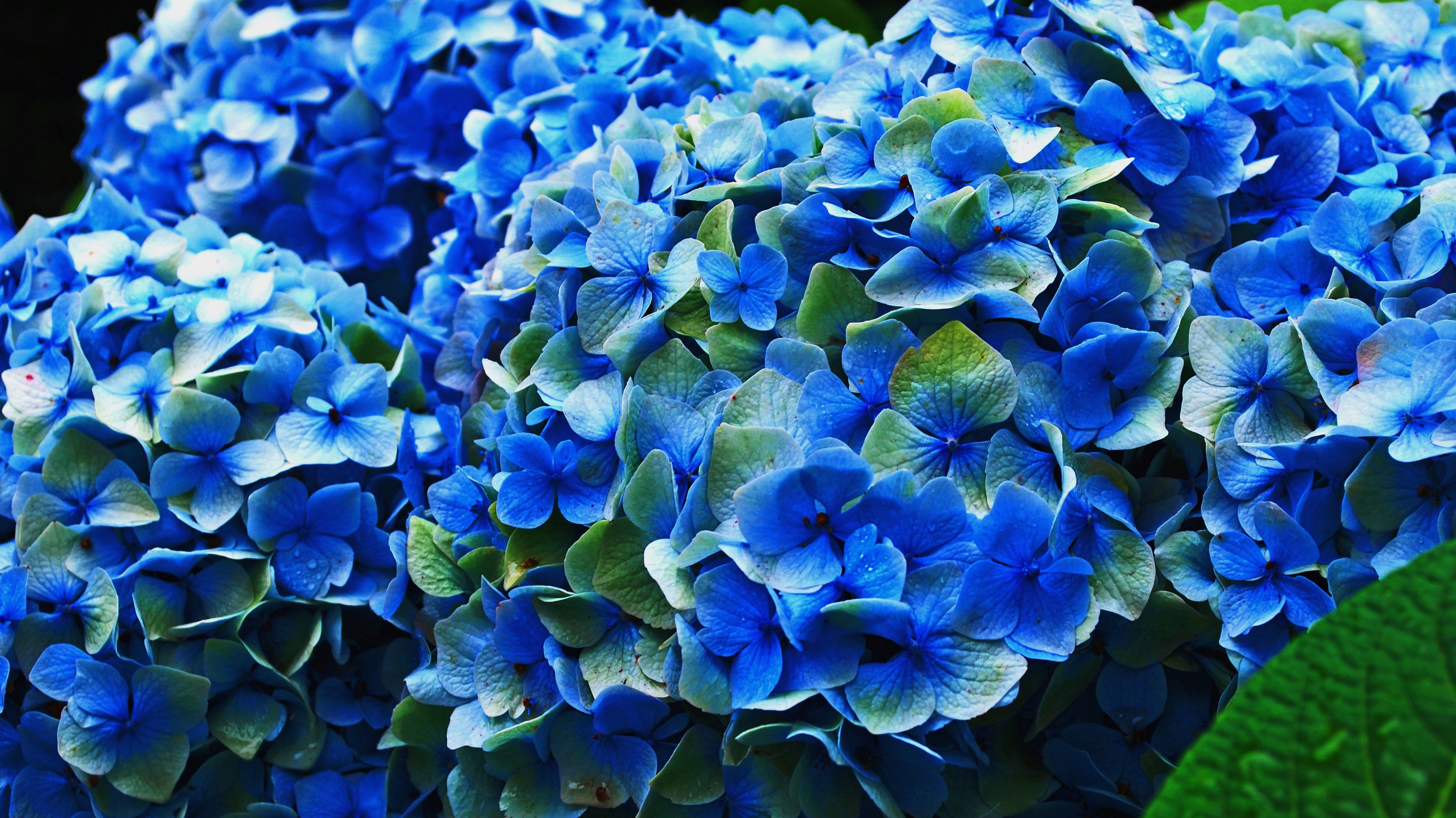 Blue Hydrangea Flowers Flowering 1080x1920 Iphone 8 7 6 6s Plus