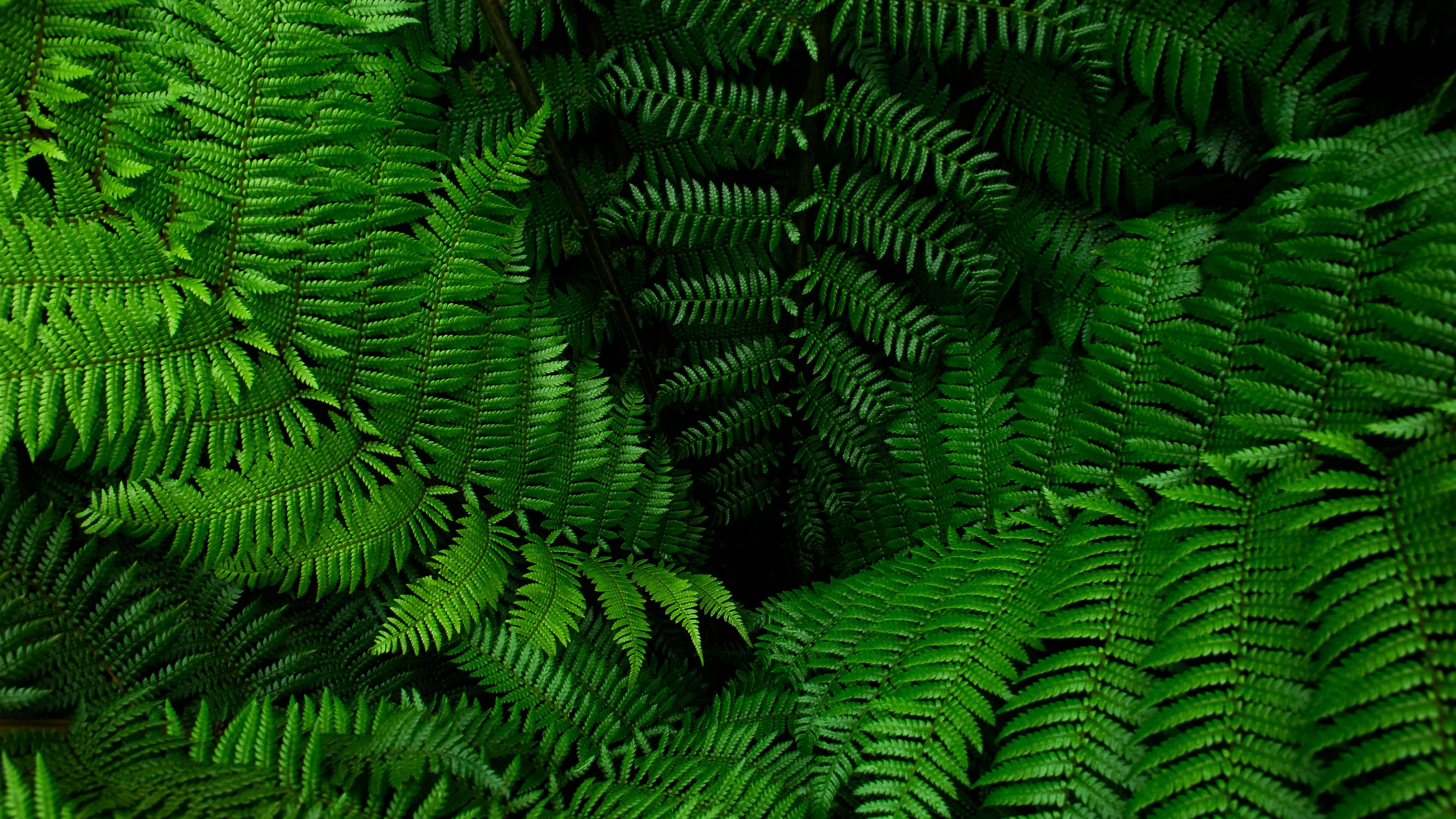 Wallpaper Fern Green Leaves Plants 5120x2880 Uhd 5k