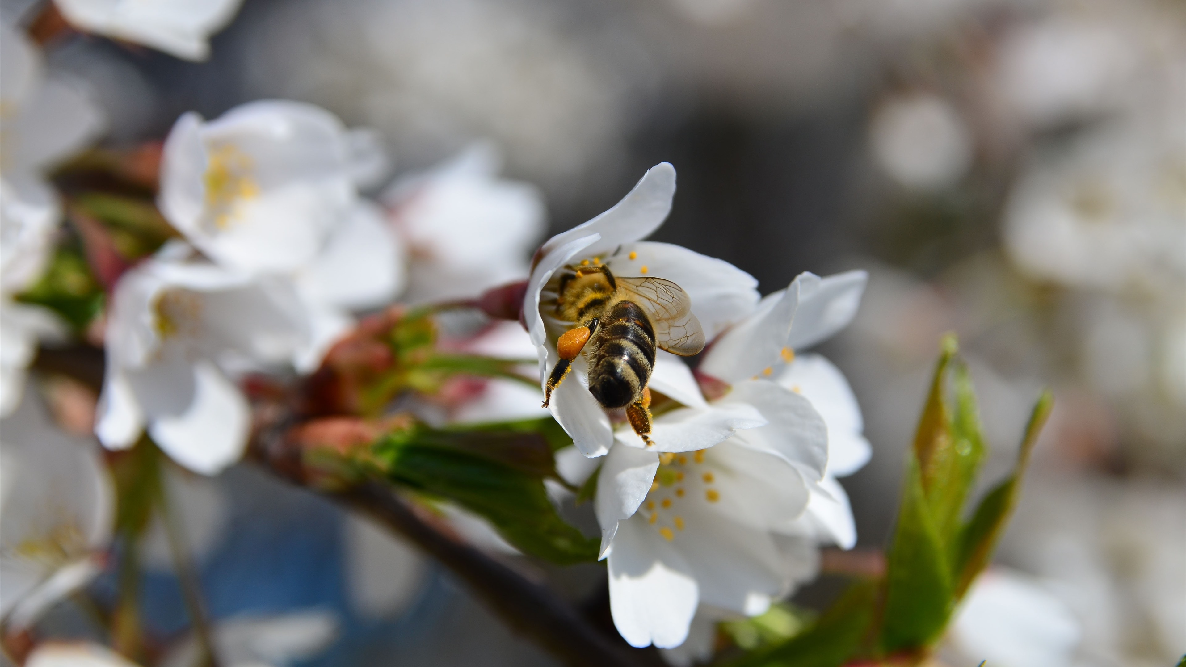 Wallpaper Spring, White Flowers Bloom, Bee 3840x2160 UHD