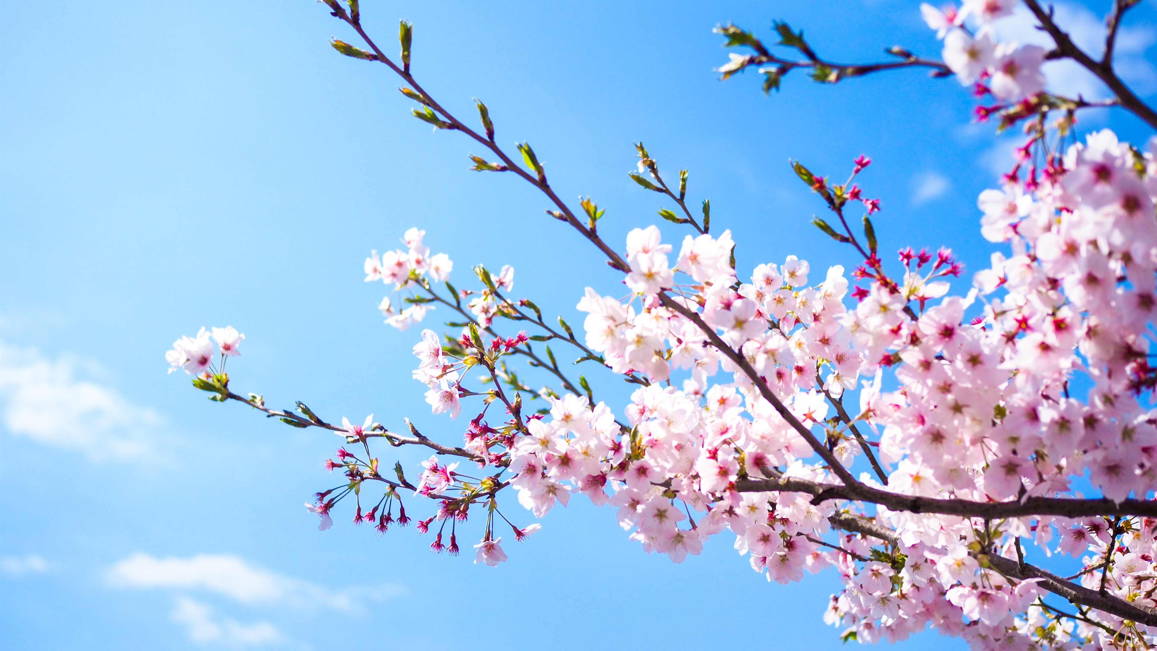 Wallpaper Pink Sakura Bloom Blue Sky Spring 3840x2160 Uhd 4k Picture Image