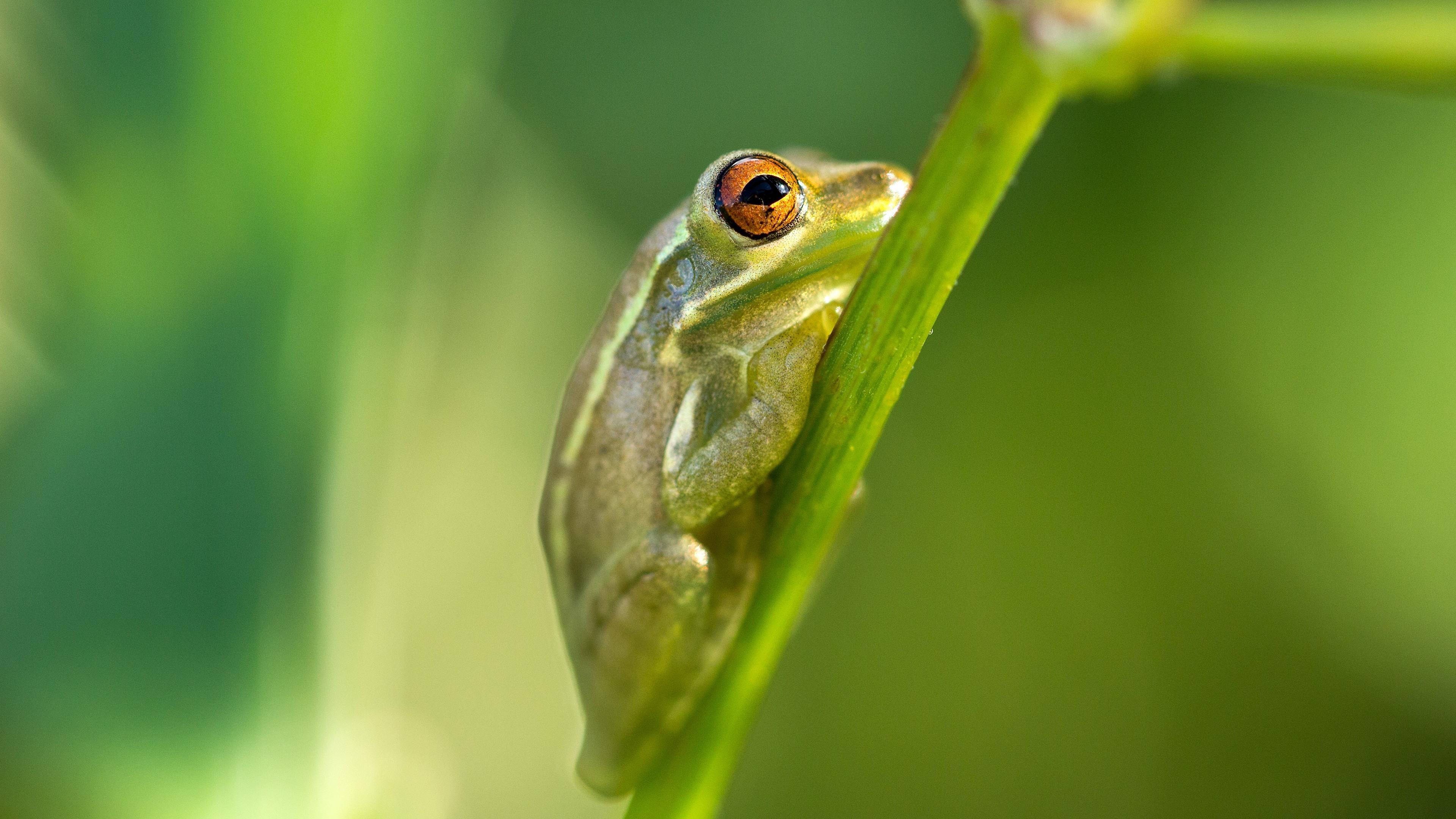 壁紙 緑のカエル 植物の茎 3840x2160 Uhd 4k 無料のデスクトップの