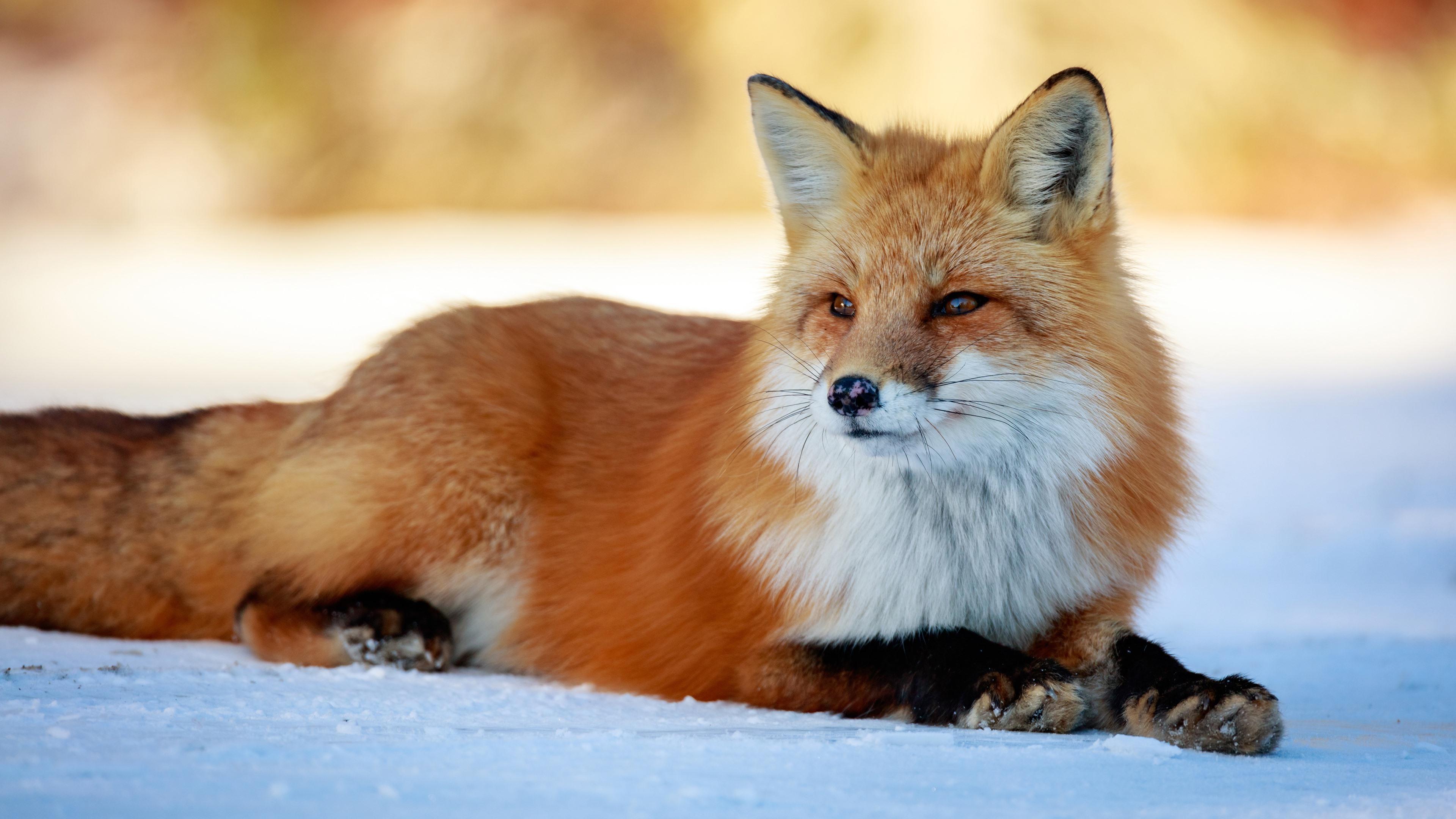 Wallpaper Cute Fox Rest Snow 3840x2160 Uhd 4k Picture Image