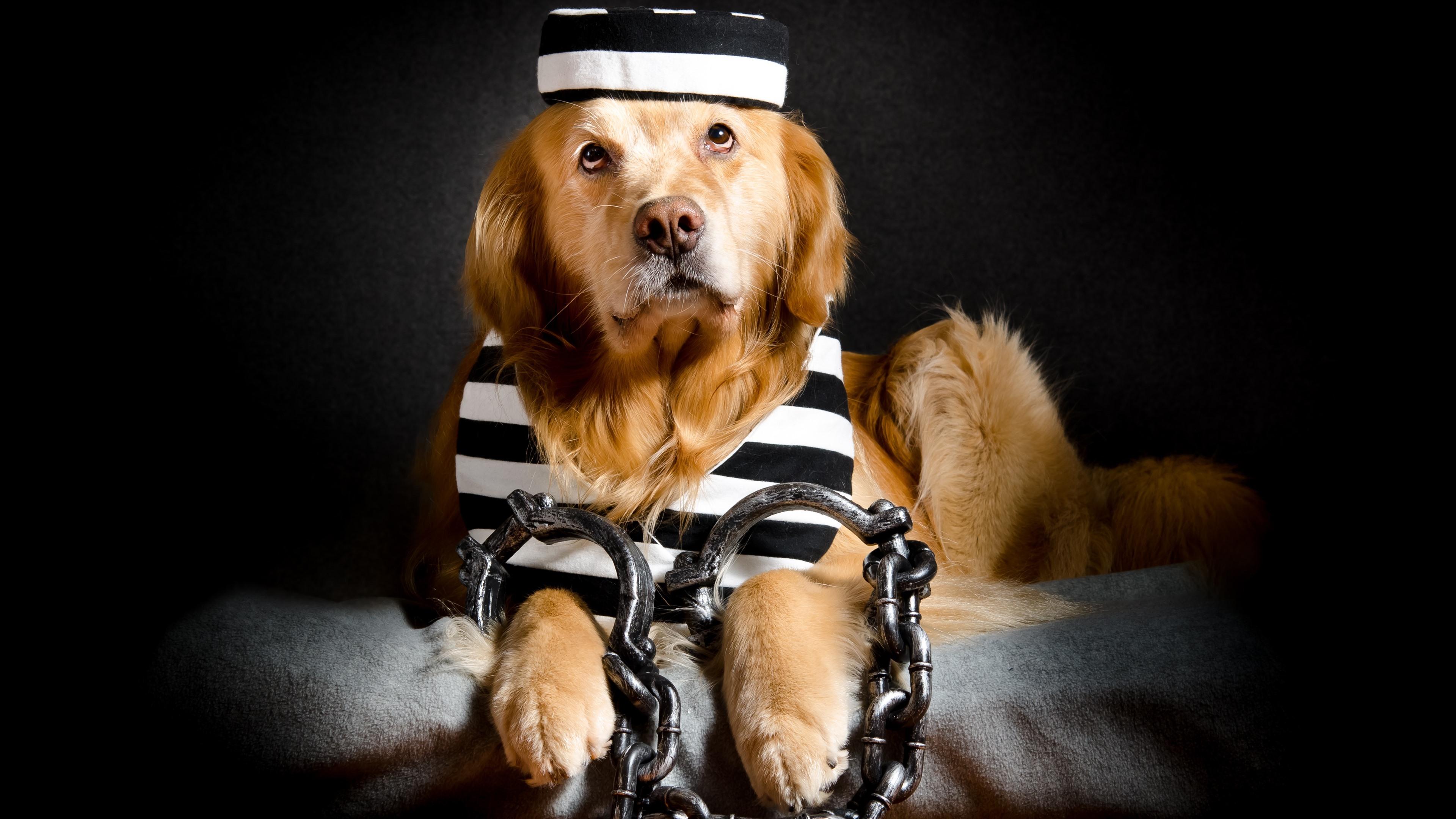 Wallpaper Funny Dog Prisoner Chain 3840x2160 Uhd 4k