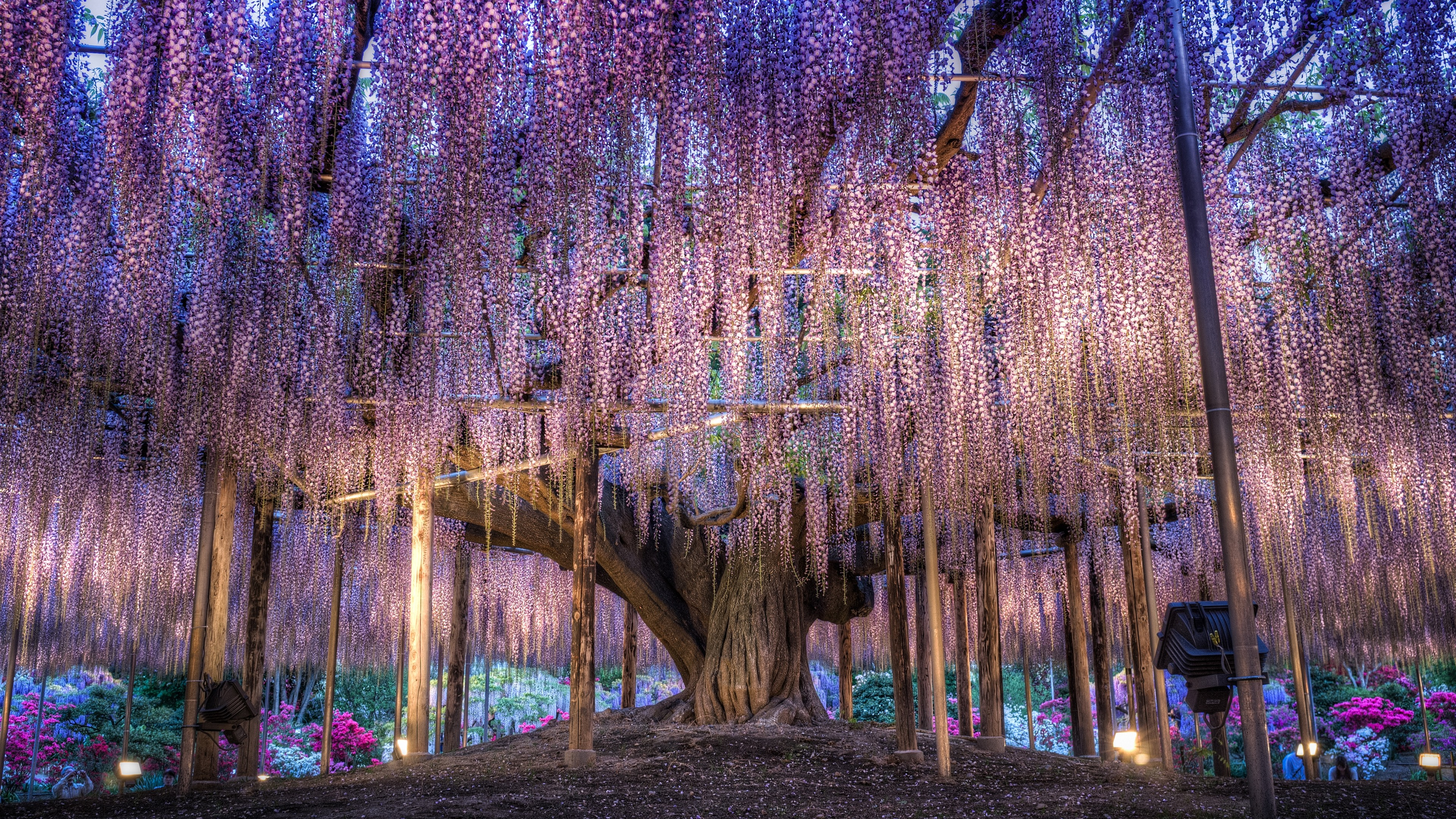 壁紙 日本 美しい藤 紫色の花 3840x2160 Uhd 4k 無料のデスクトップ