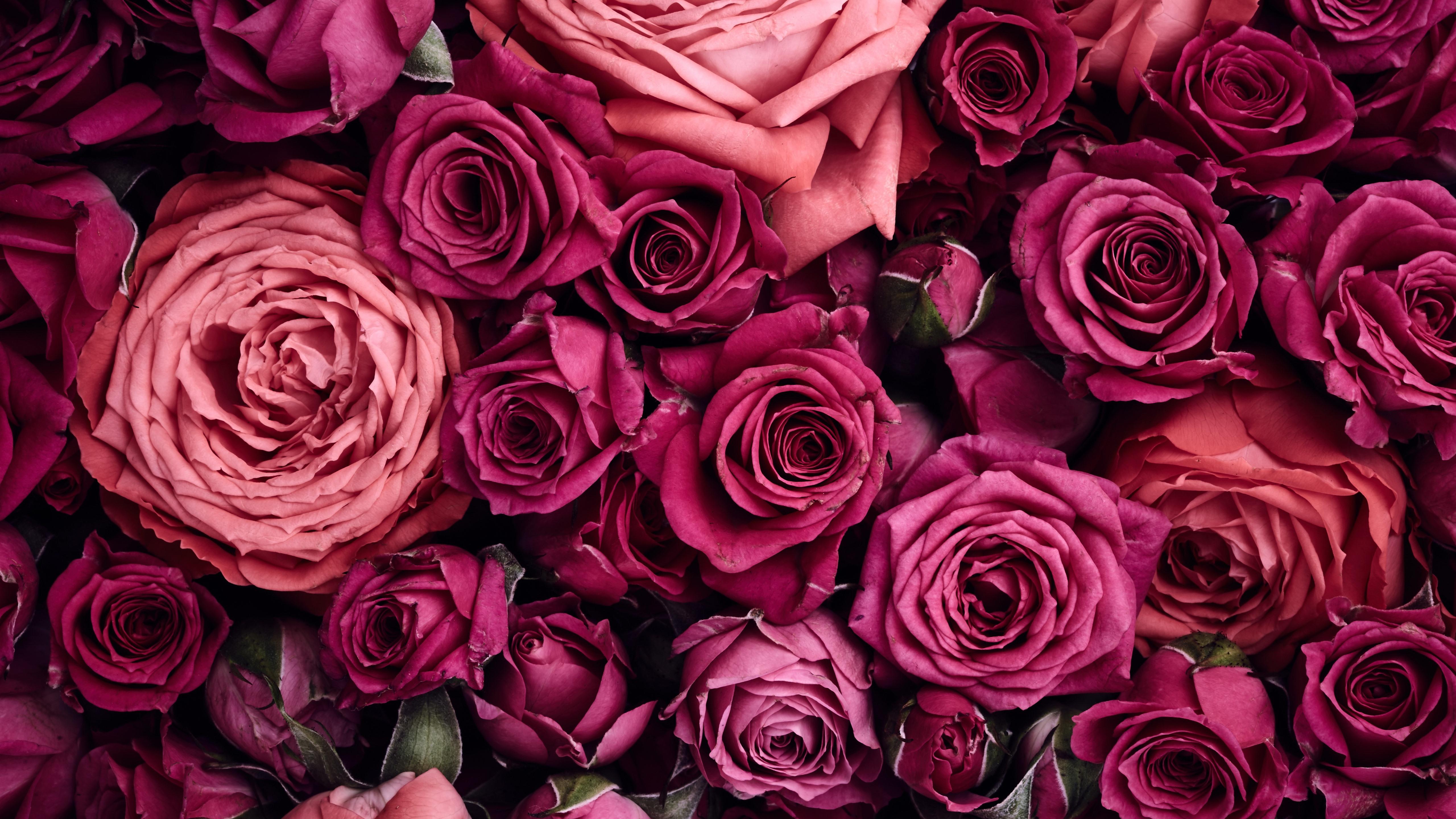 壁紙 紫とピンクのバラの背景 5120x2880 Uhd 5k 無料のデスクトップの