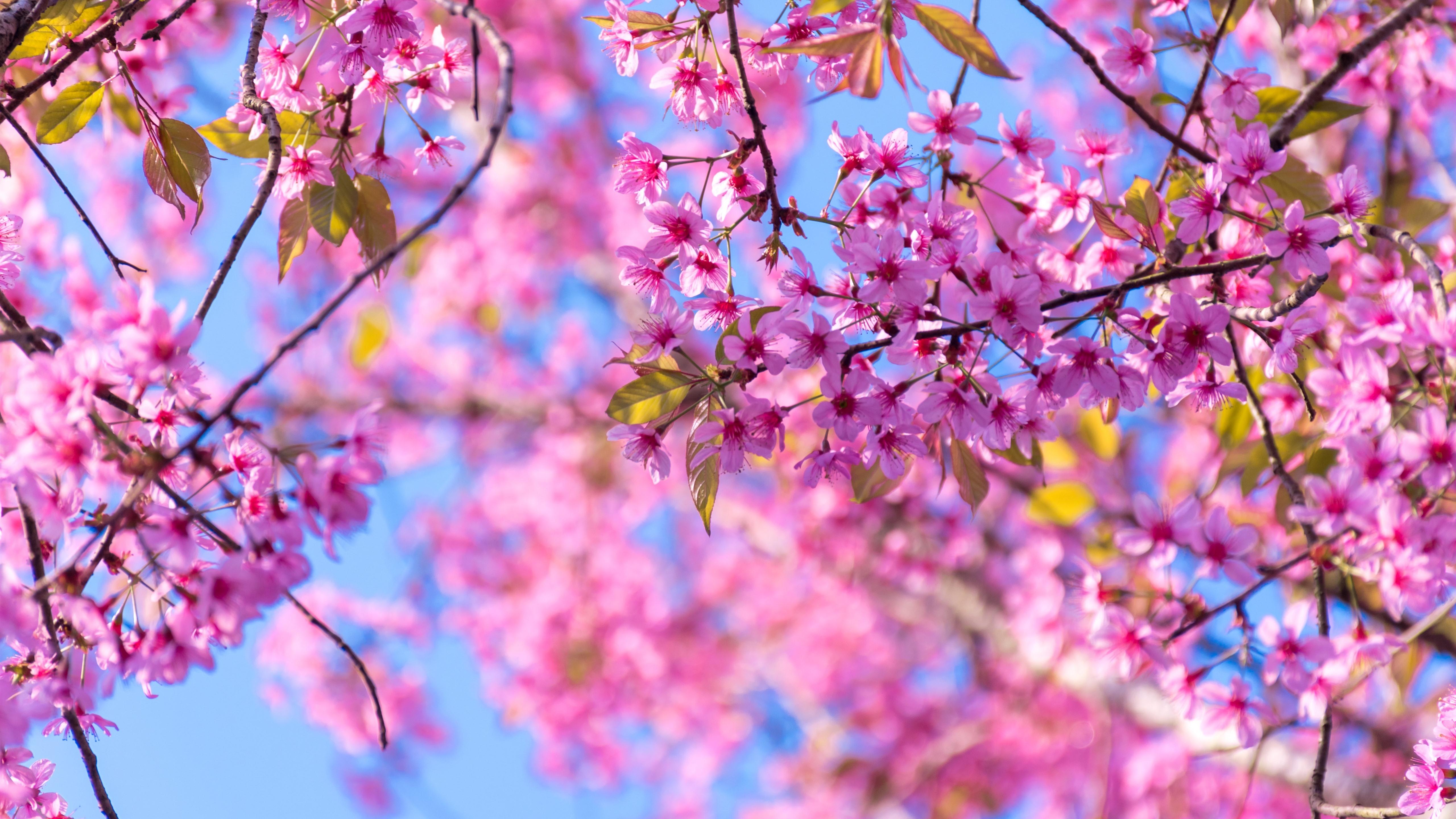 Planos De Fundo Hd Para Pc: Papéis De Parede Primavera, Floração De Sakura, Flores De