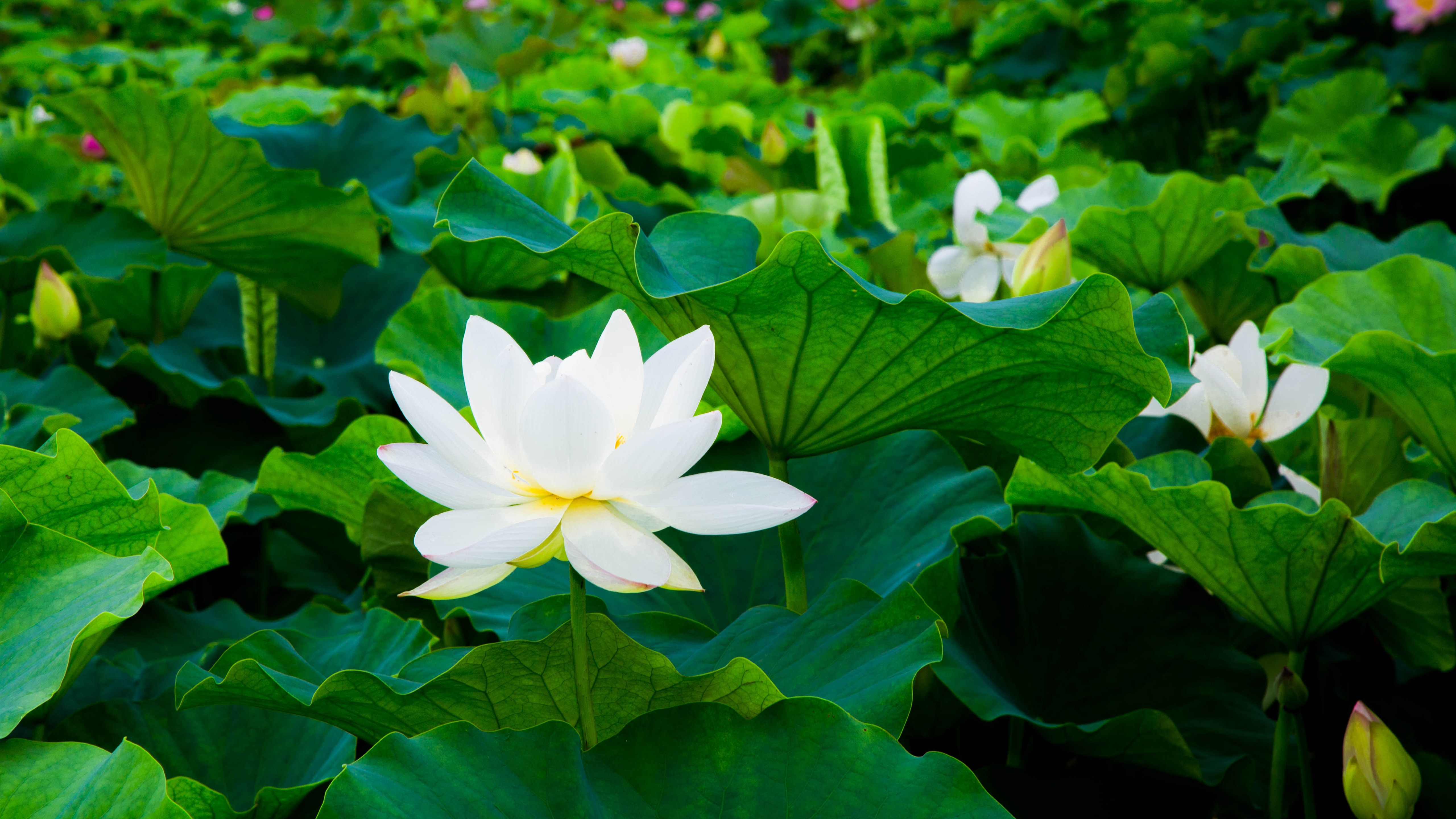 Wallpaper White Lotus Green Leaves Flowers 5120x2880 Uhd 5k