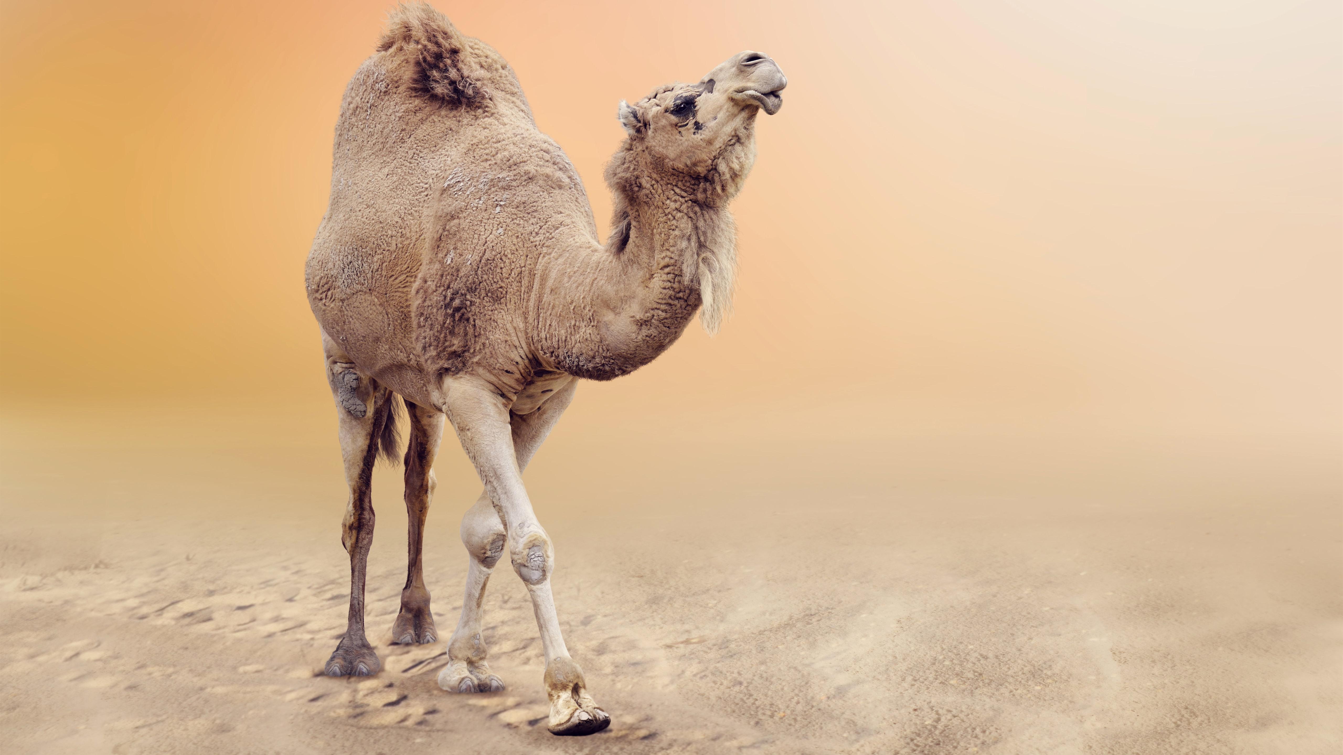 мотивирующие постер пустыня и верблюды и люди что опыт альфонса