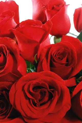 iPhone 배경 화면 빨간 꽃들이 활짝 피어날 장미