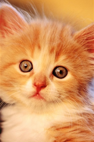 iPhone 배경 화면 귀여운 오렌지색 고양이