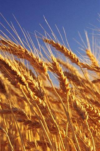 iPhone 배경 화면 곡물의 골든 웨이브