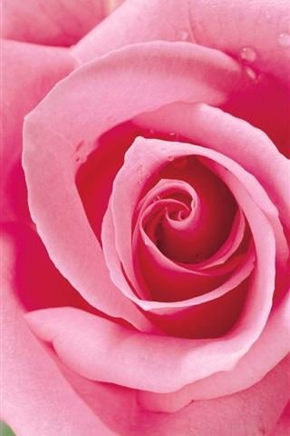 iPhone 배경 화면 분홍 장미