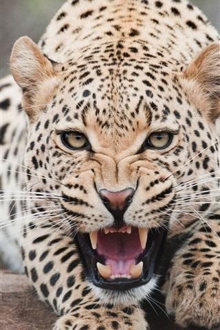 iPhone Wallpaper Ferocious snow leopard