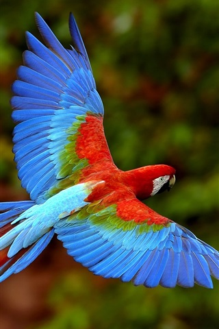 iPhone Wallpaper Flying parrot