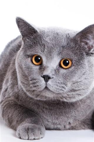 iPhone 배경 화면 그레이 뚱보 고양이