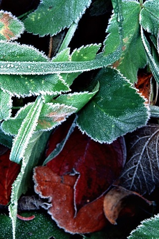 iPhone Wallpaper Ice green leaves