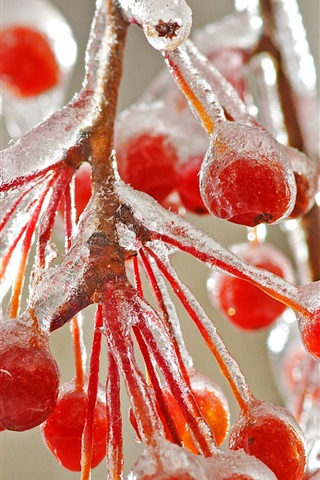 iPhone Wallpaper Red berries ice cold winter