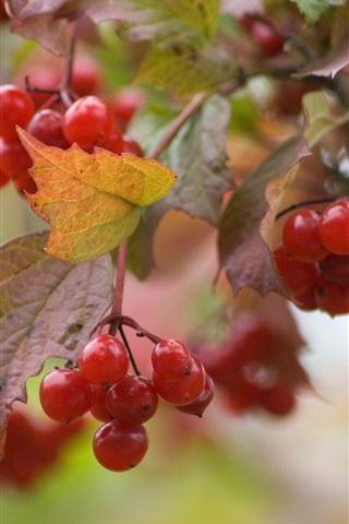 iPhone Wallpaper Red viburnum berries