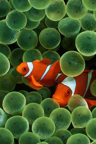 iPhone 배경 화면 두 광대 물고기