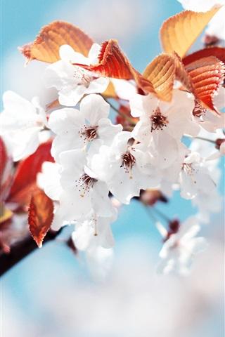 iPhone 배경 화면 화이트 벚꽃