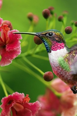 Wallpaper Hummingbird flowers flying 1680x1050 HD Picture, Image