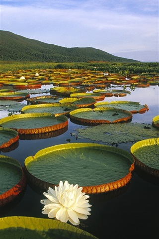 iPhone 배경 화면 Pantanal Matogrossense, 브라질에서 빅토리아 레지아 워터 릴리