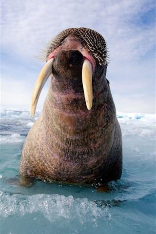 iPhone Wallpaper Walrus on the sea ice