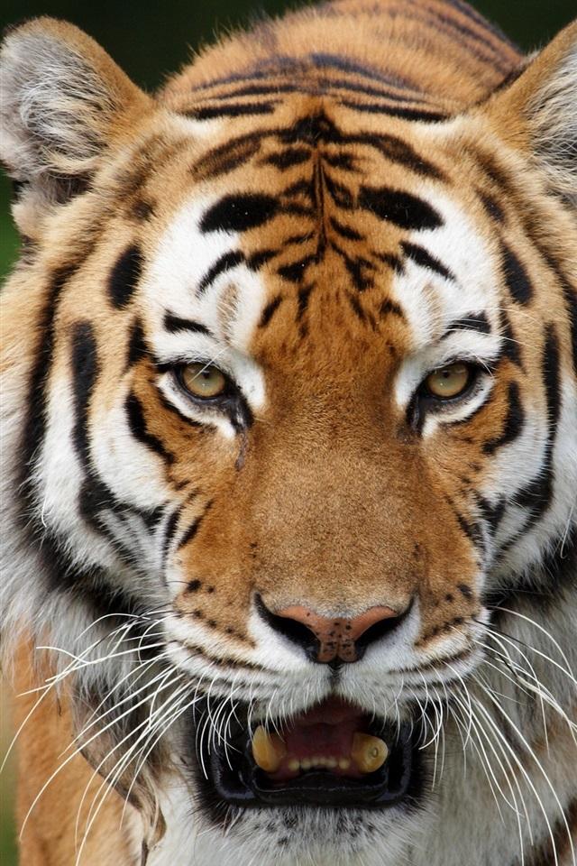 Wilde Katzen Sibirische Tiger 2560x1600 HD ...