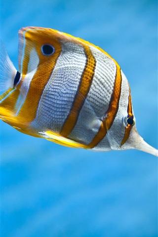 iPhone Wallpaper Yellow and white clownfish